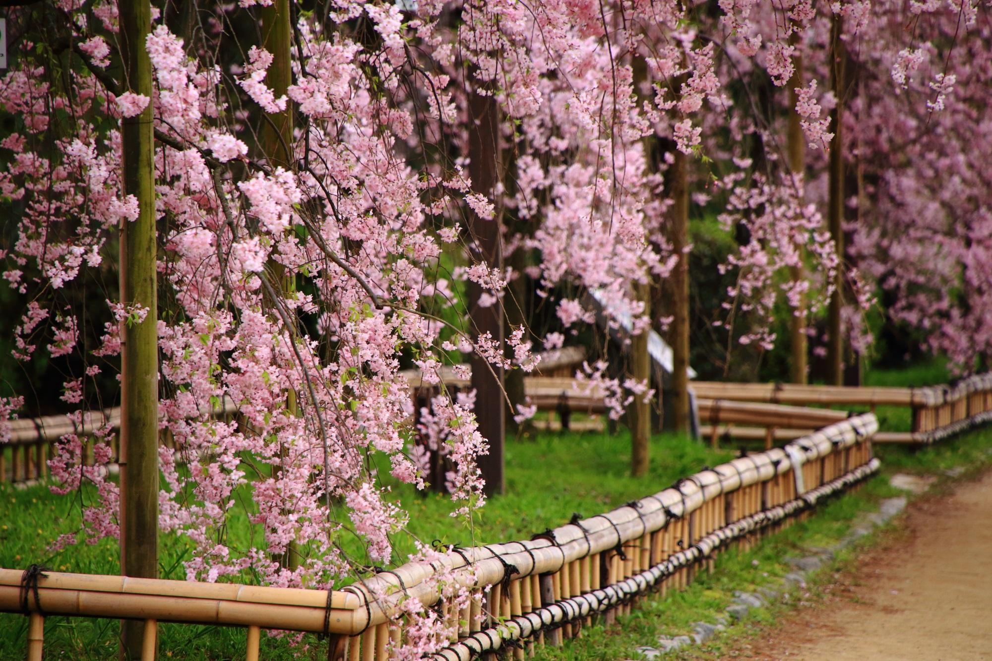 華やかに揺らぐしだれ桜