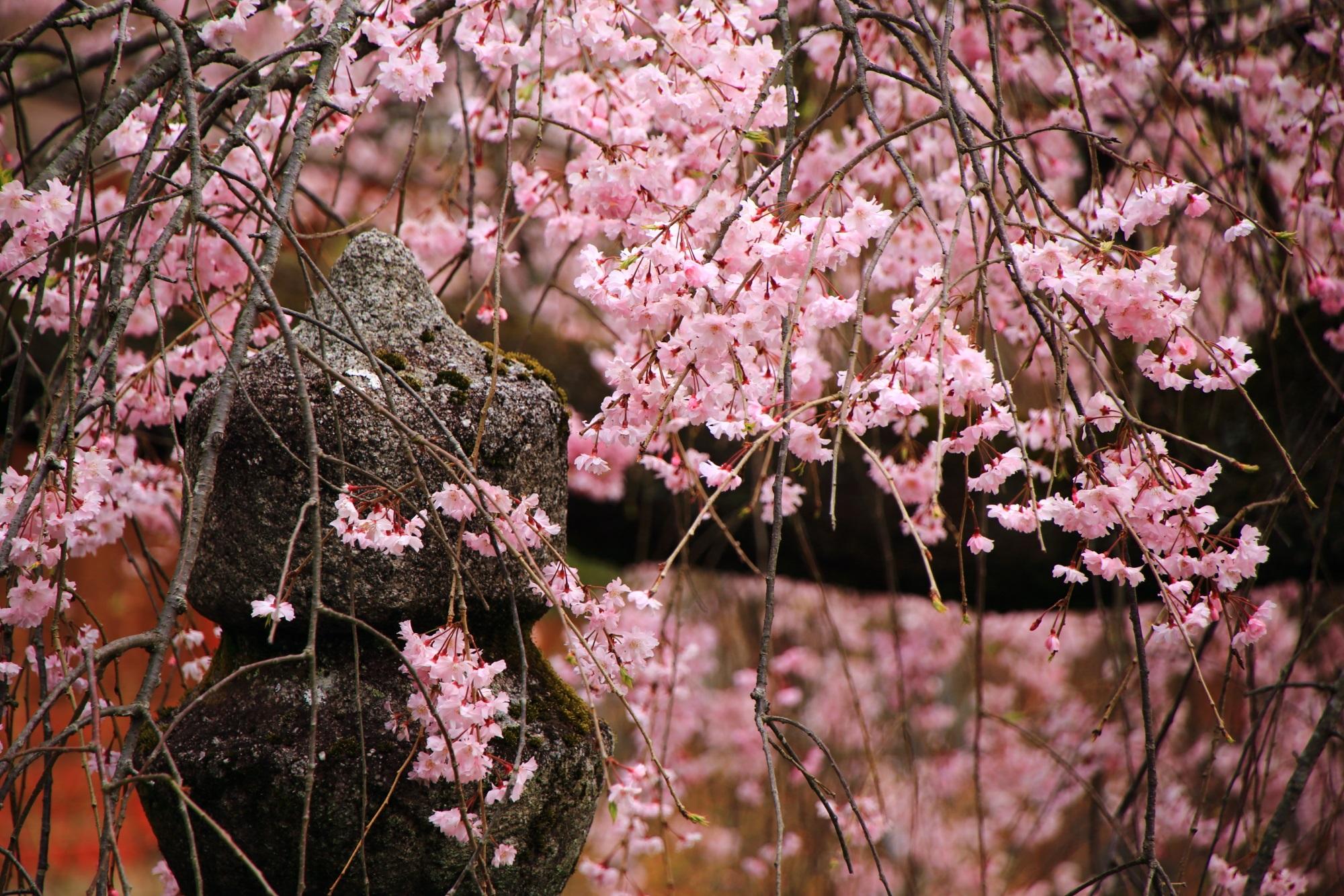 満開の花をいっぱいつけて咲き誇るしだれ桜