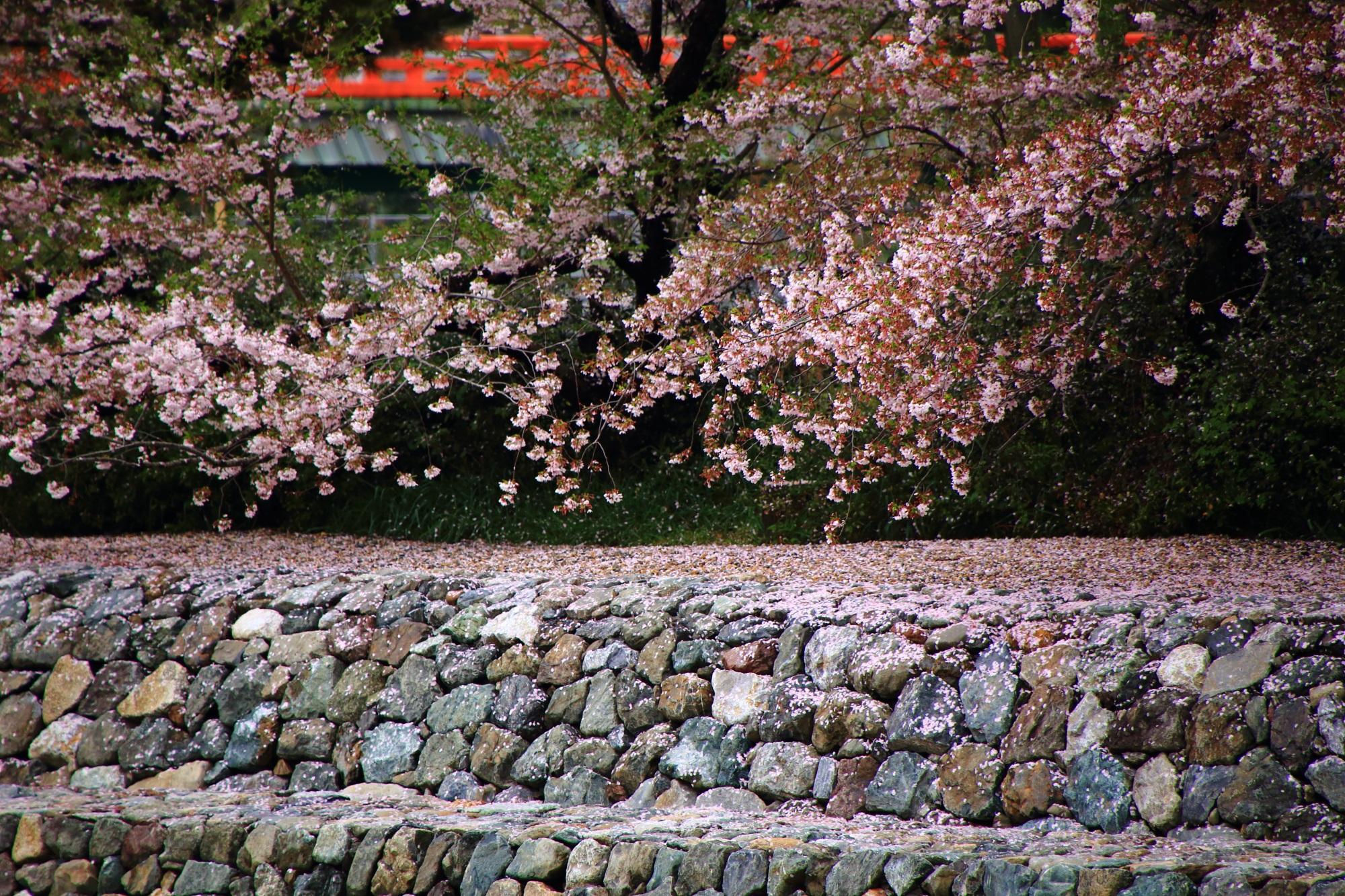 対岸から眺めた春色の桜と散り桜
