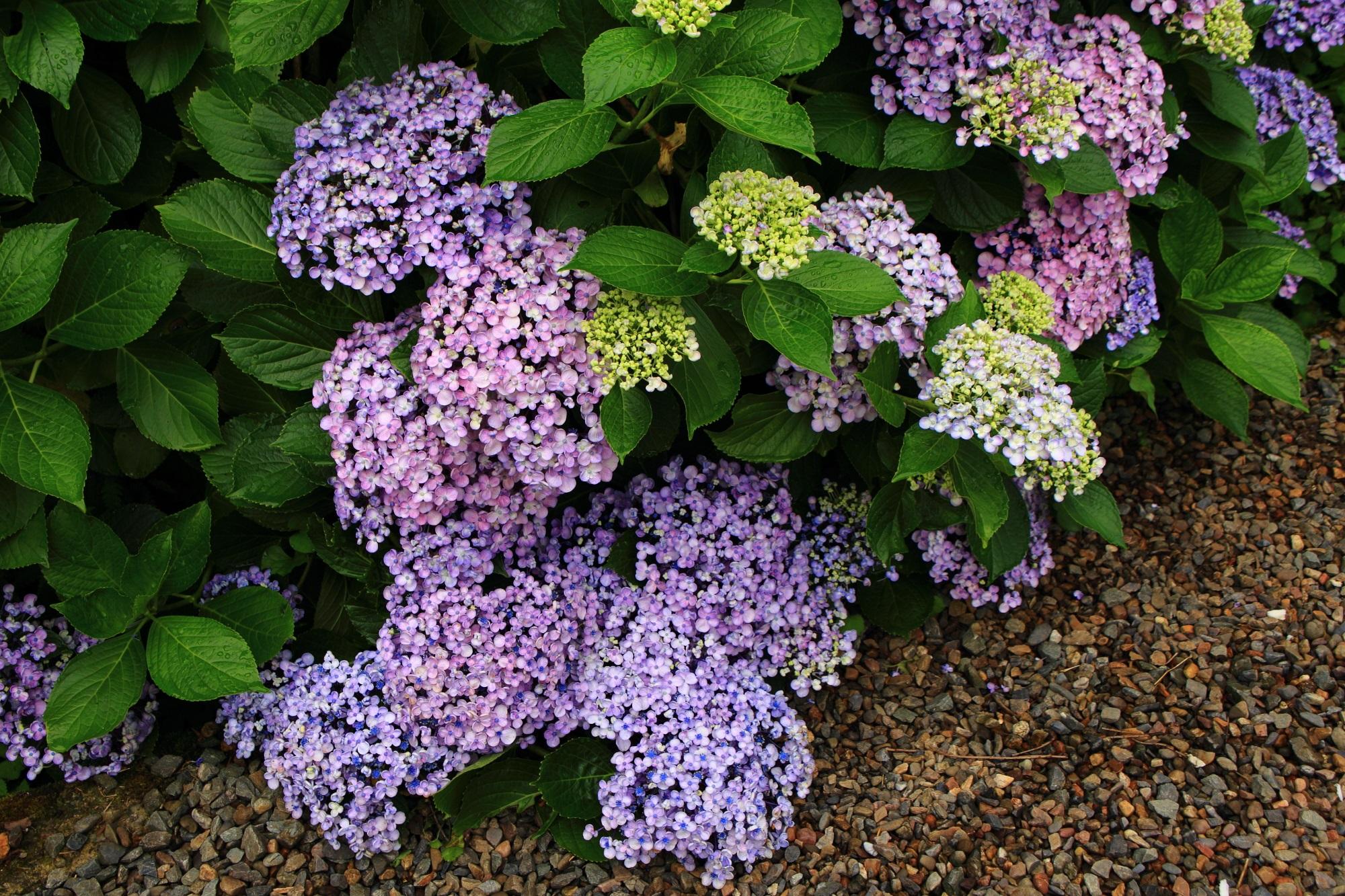 福知山の丹州観音寺の花が溢れ出しそうなお多福紫陽花(オタフクアジサイ)