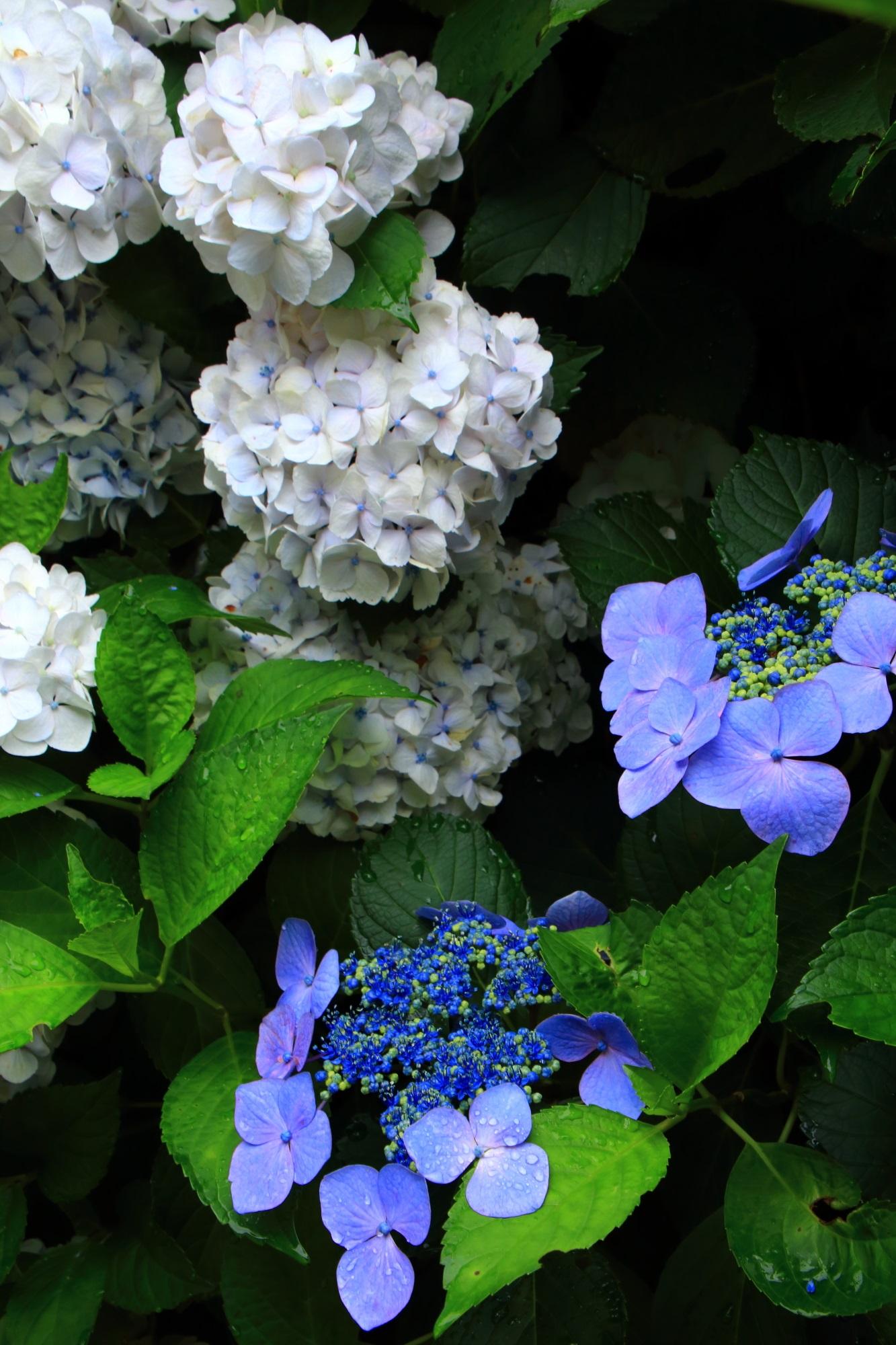 丹州観音寺の緑の葉の上で華やぐ白や青の紫陽花