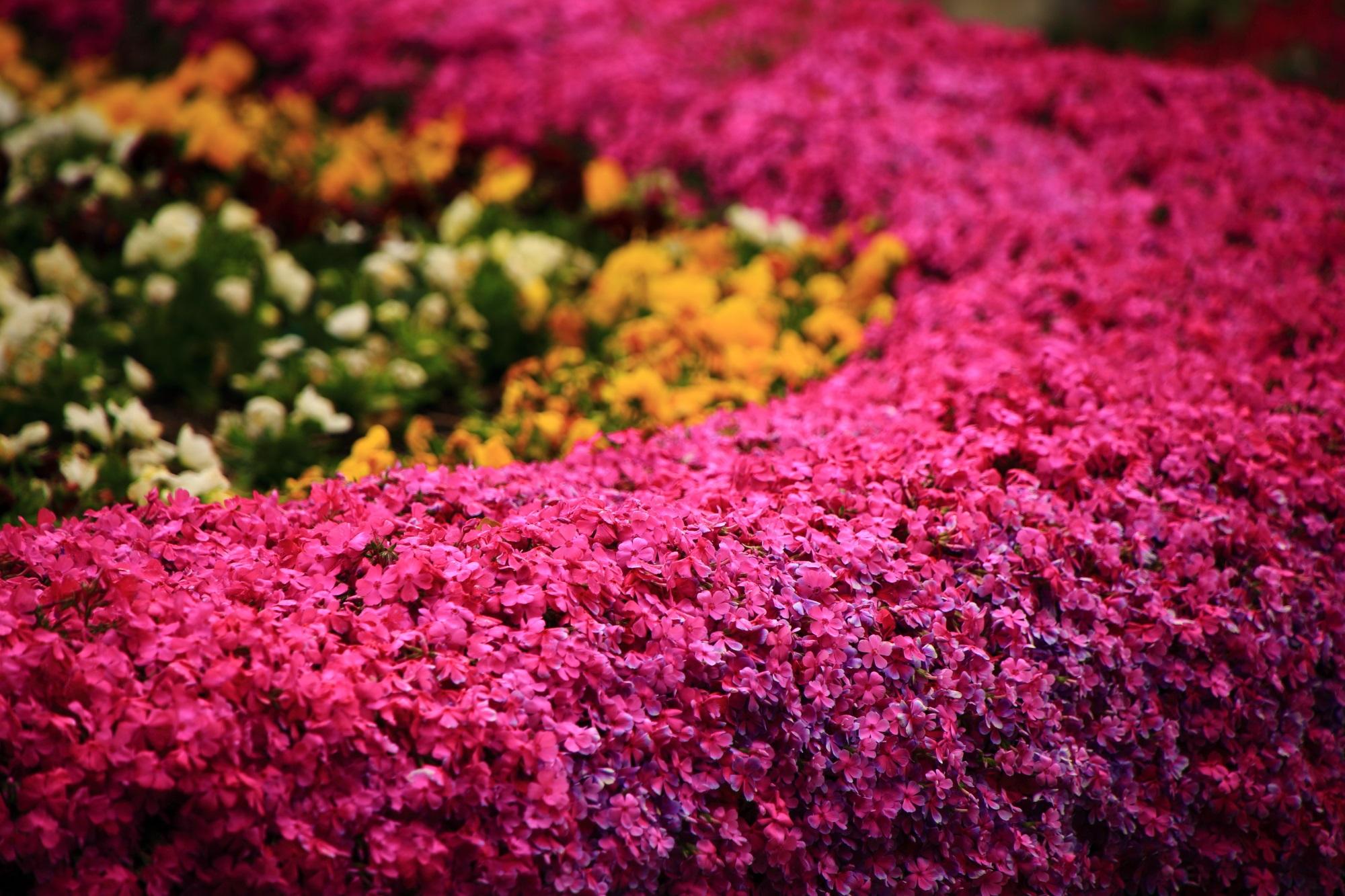 正法寺の色鮮やかな絶品のピンクの芝桜