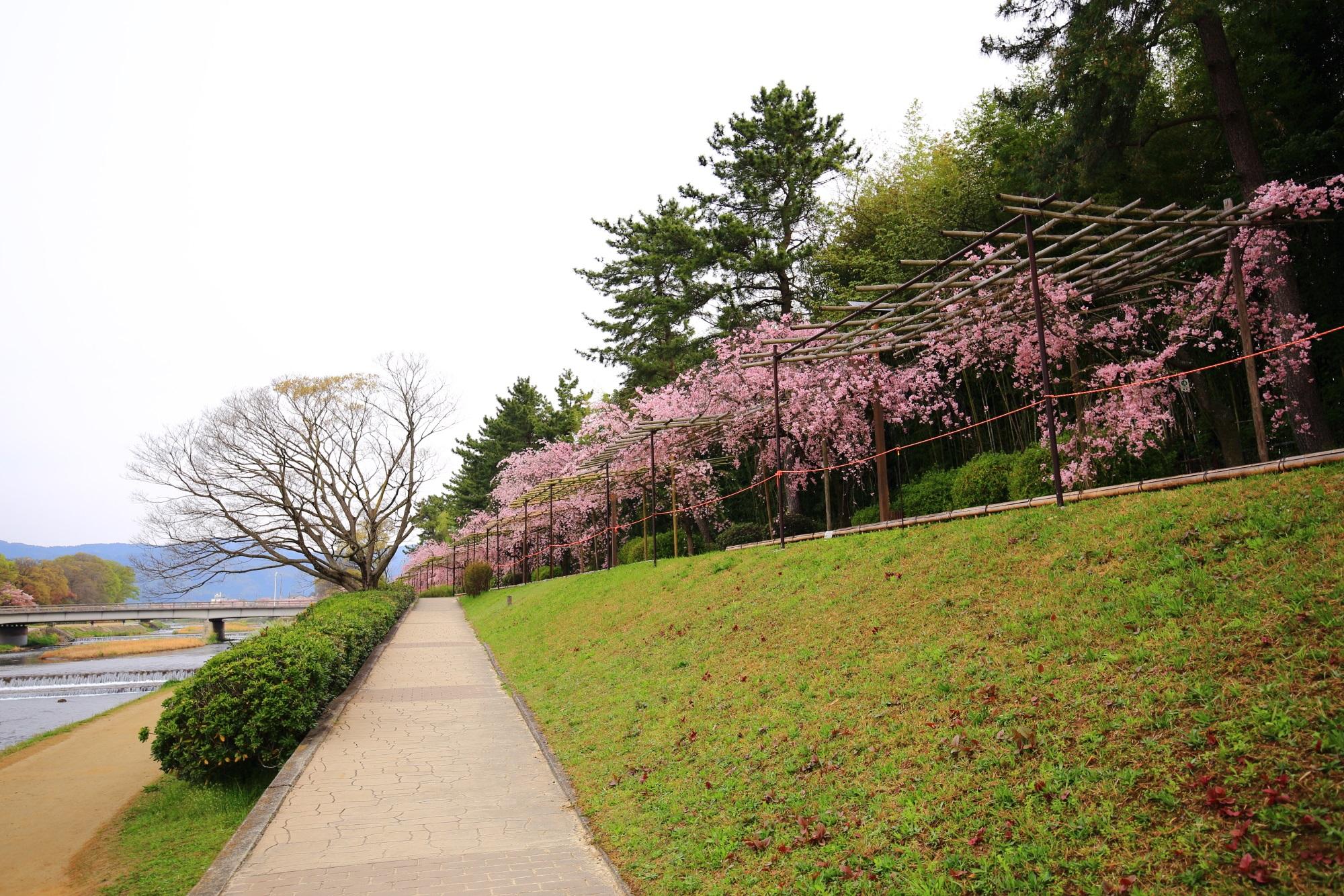 春色に包まれた長閑な賀茂川沿い