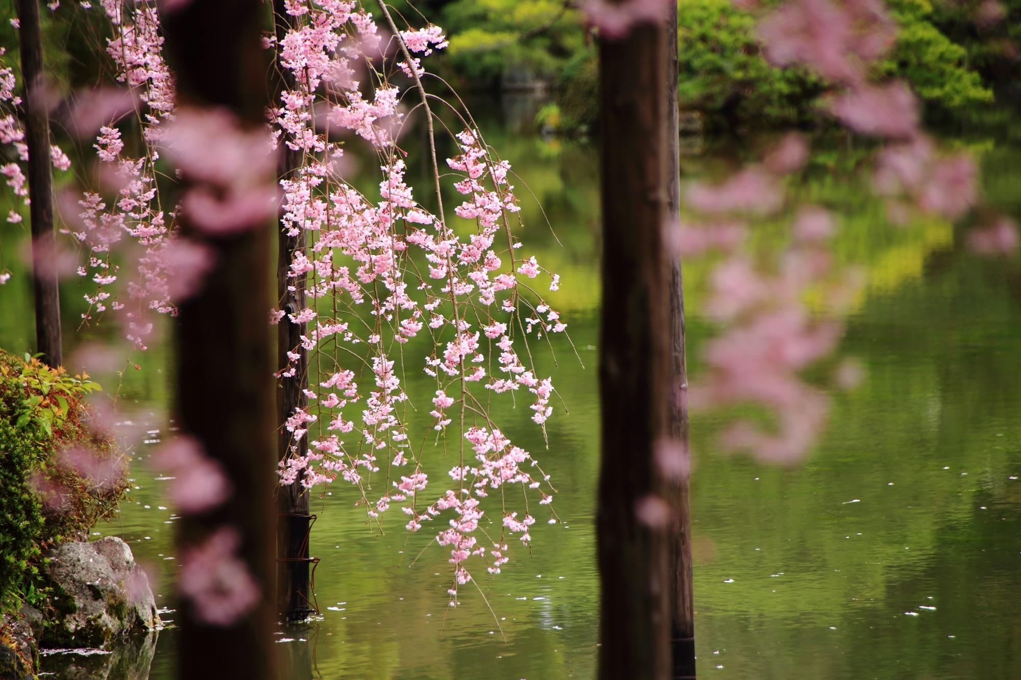 高画質 平安神宮神苑 桜 写真
