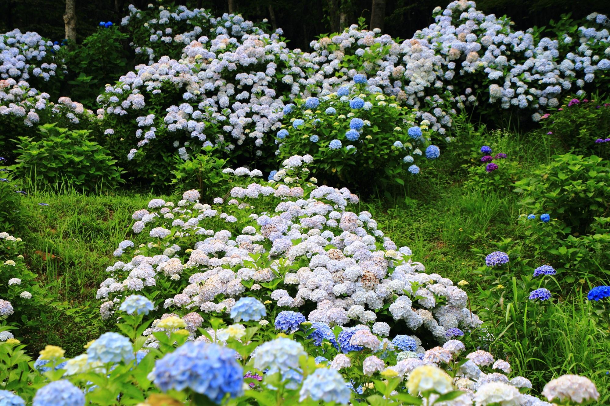 豪快に咲き乱れる咲きすぎの紫陽花