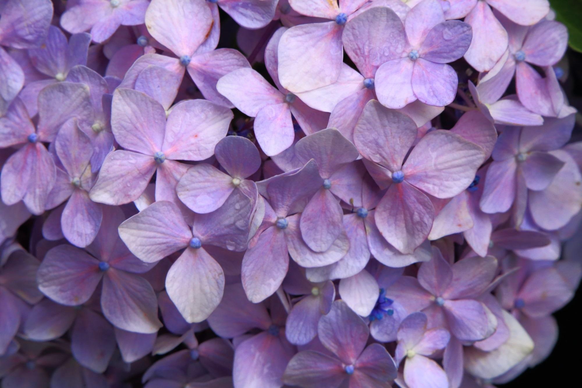 やはり雨が似合う丹波あじさい寺の雨水で濡れた紫陽花