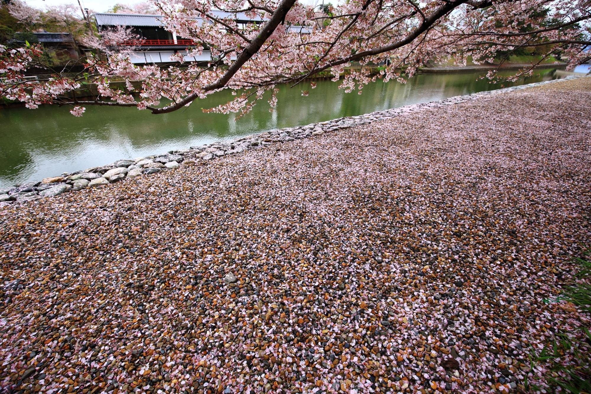 宇治川の素晴らしい散り桜と桜と春の情景