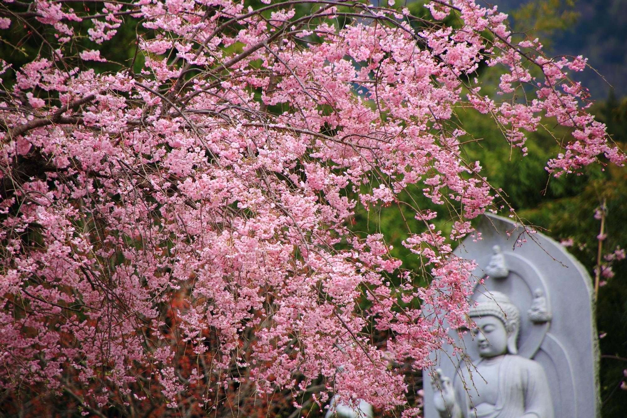 観音様も華やかに彩る正法寺の桜
