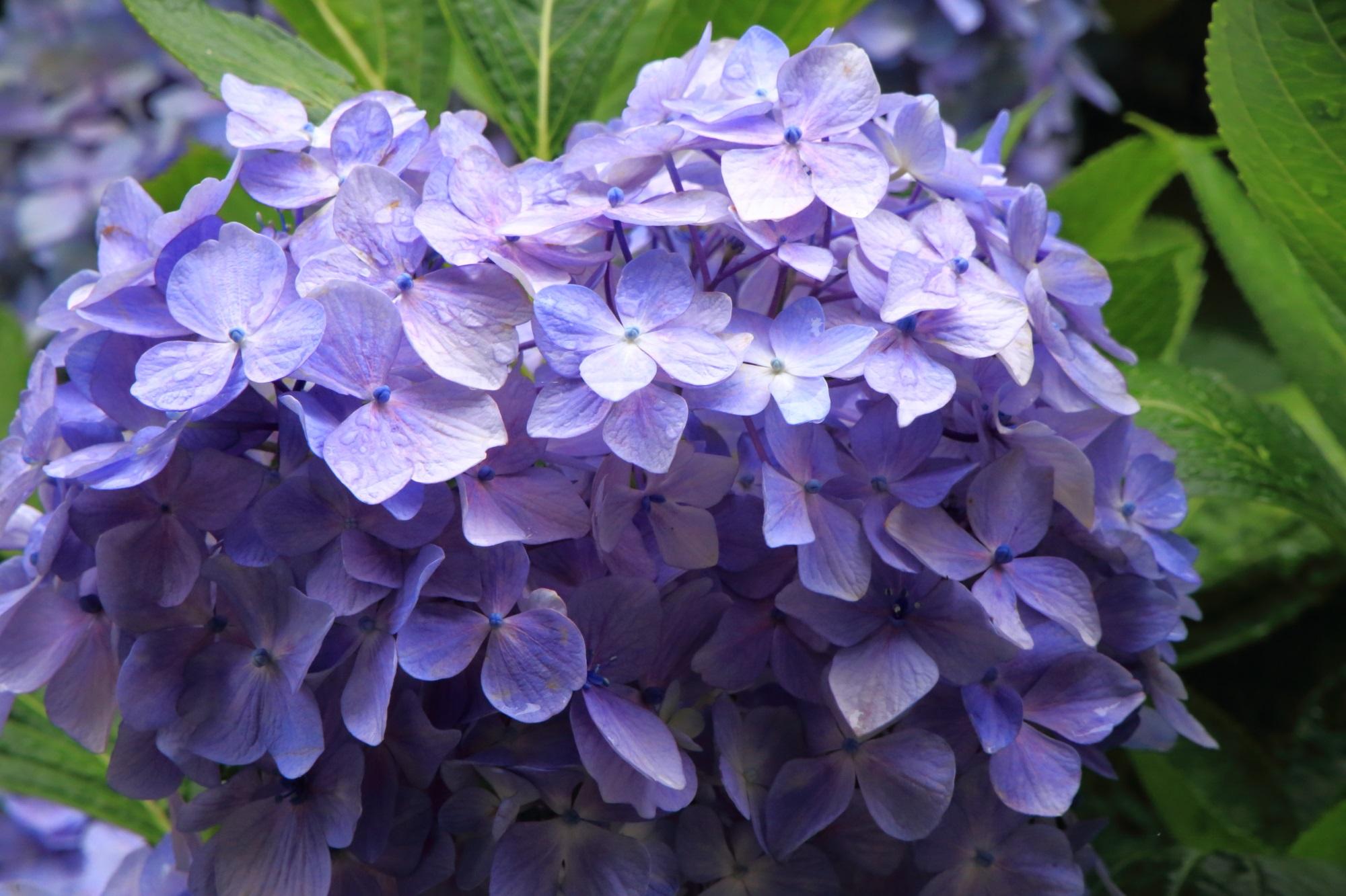 丹州観音寺の水滴で潤う淡い薄紫色の紫陽花