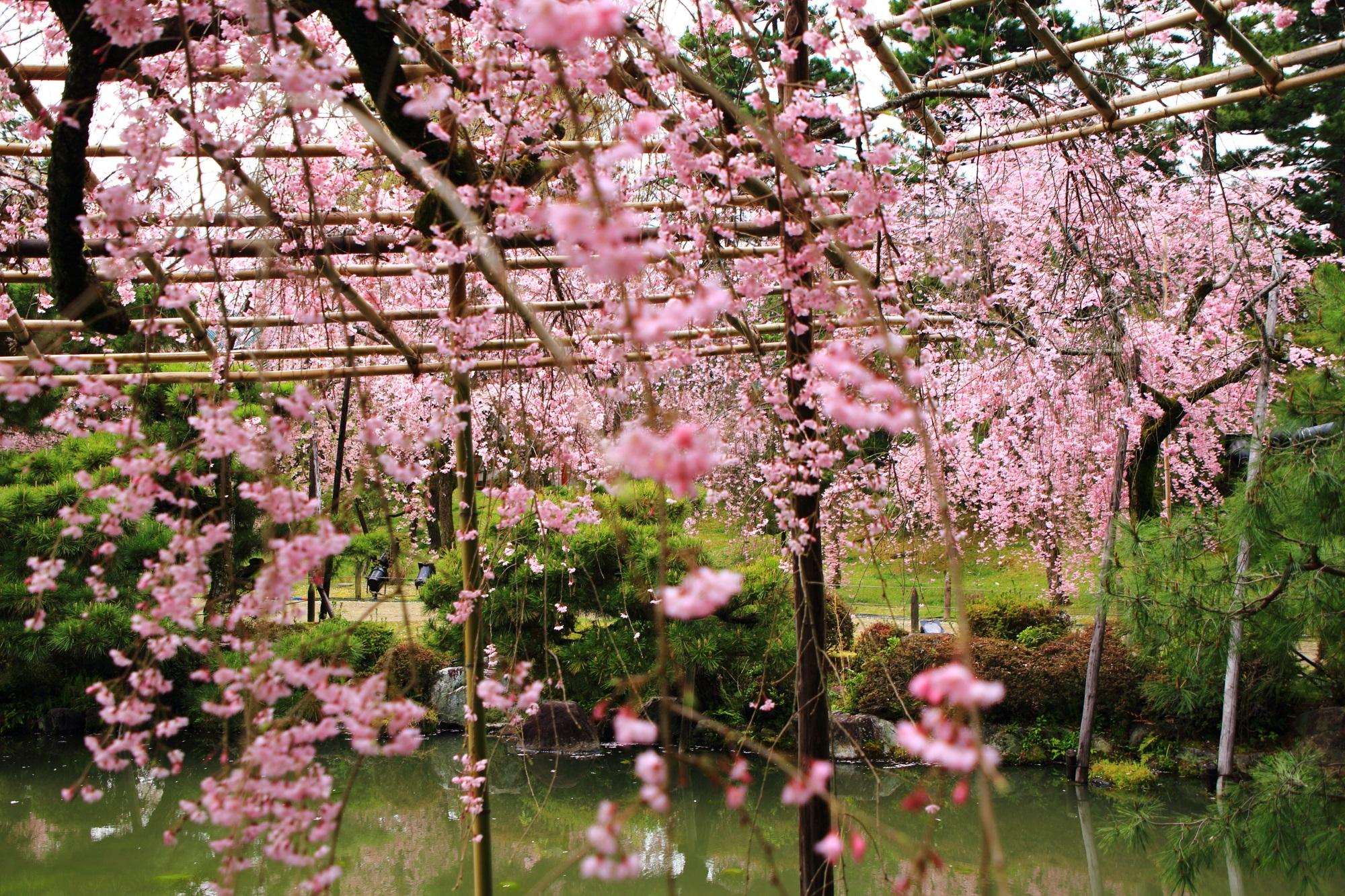 水辺で溢れる華やかな春色のしだれ桜