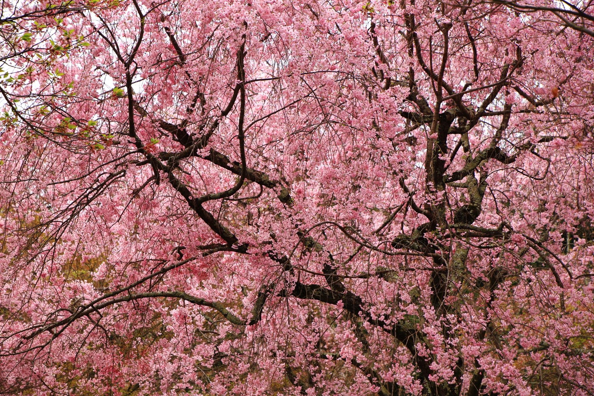 境内を春色に彩る見事なしだれ桜
