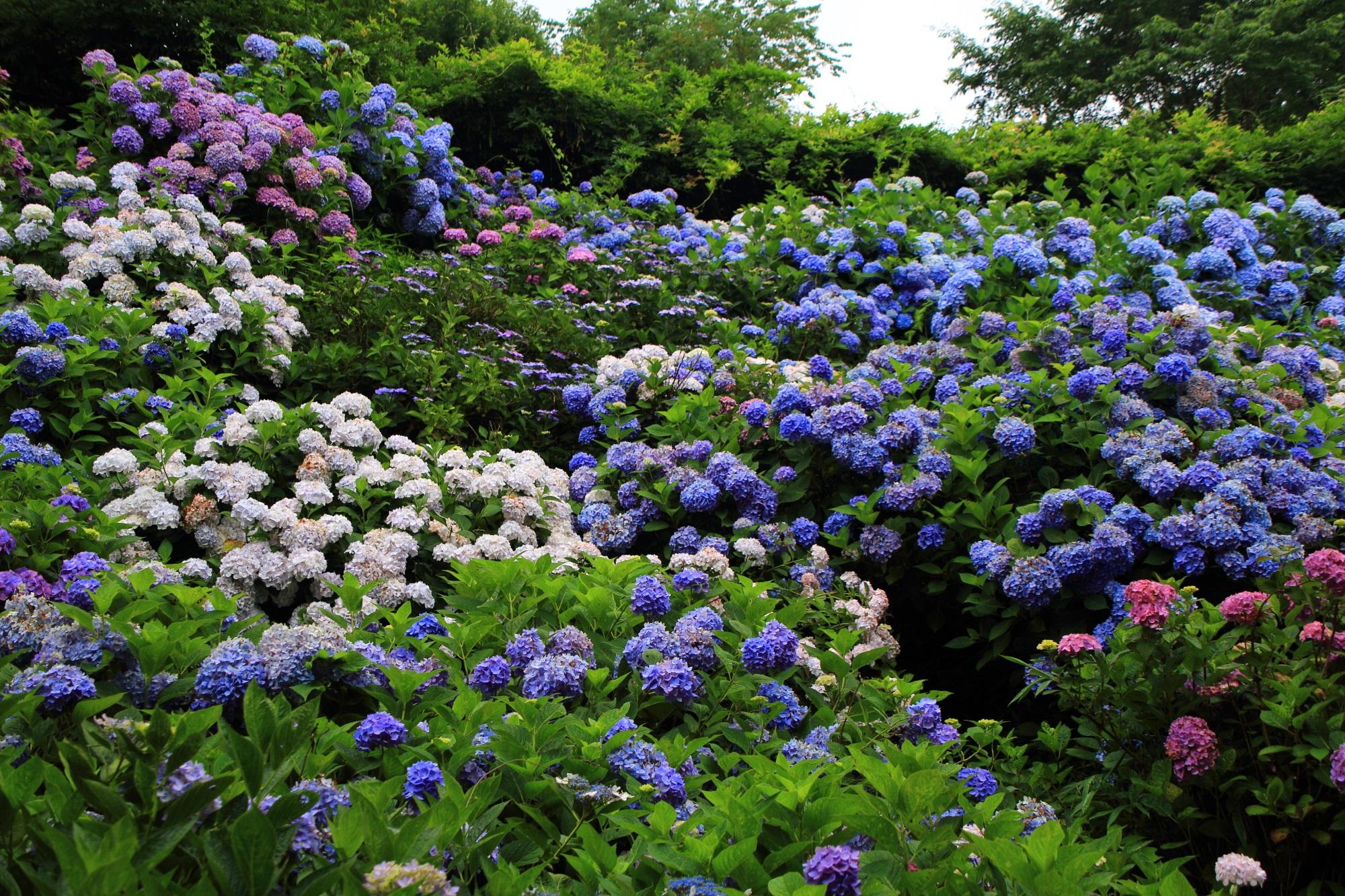 紫陽花が物凄いことになっている丹州観音寺(たんしゅうかんのんじ)