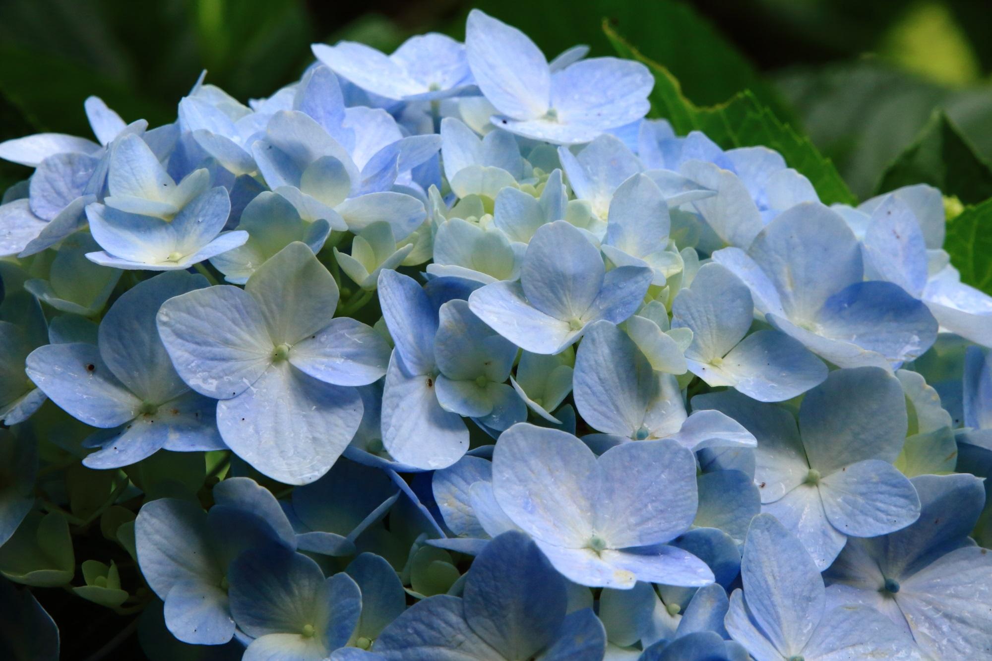 丹波あじさい寺の淡い水色の優しそうな紫陽花