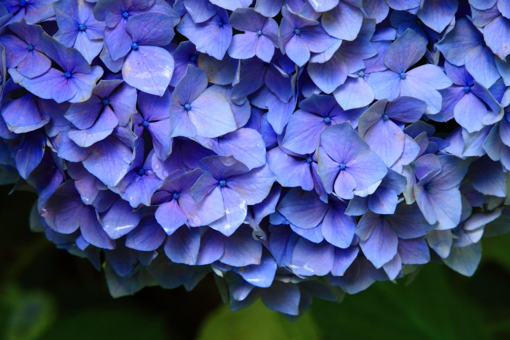 花びらをびっしりつけた天晴れな紫陽花