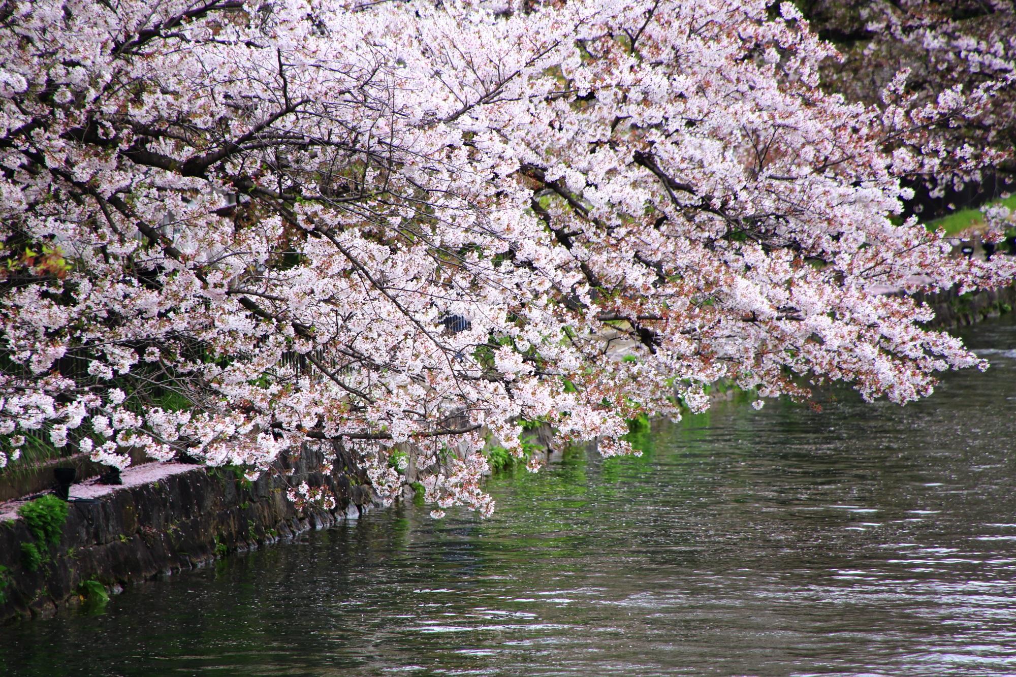 まだ残っている一部見ごろの桜の木