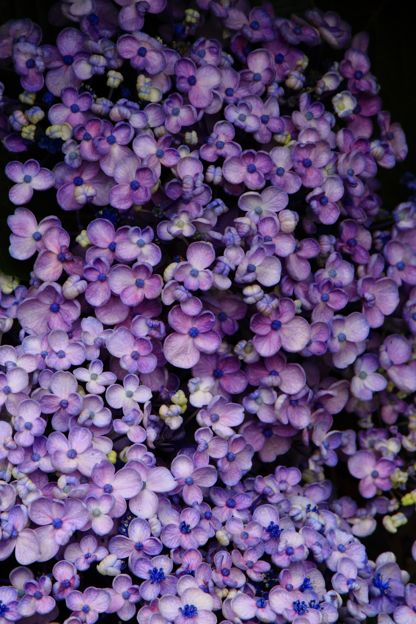 自然が作り出す華やかな芸術作品のような丹州観音寺のお多福紫陽花