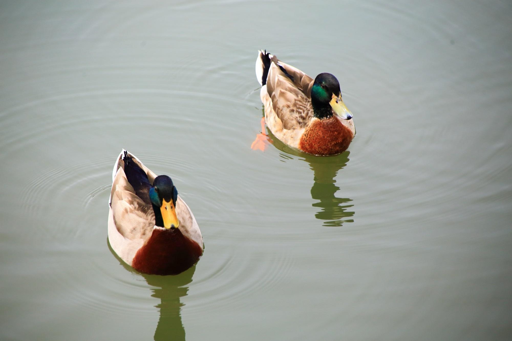 平安神宮神苑の可愛いく長閑な鴨さんたち