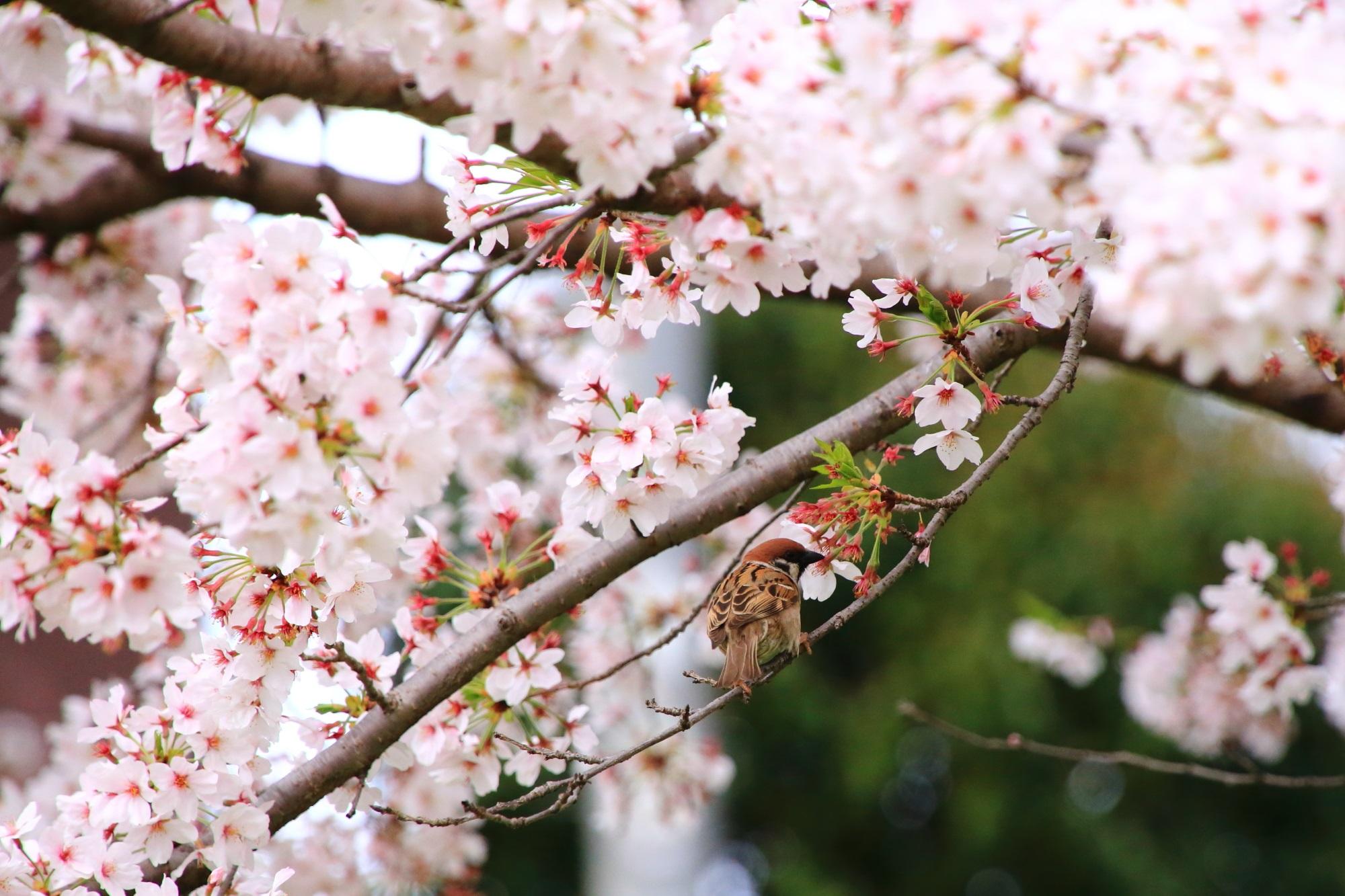 満開の桜の中で戯れるスズメさん