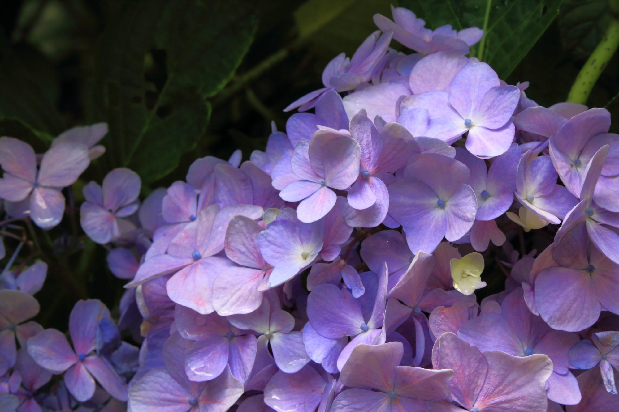 花も傷んでおらず状態も良さそうな岩船寺の紫陽花