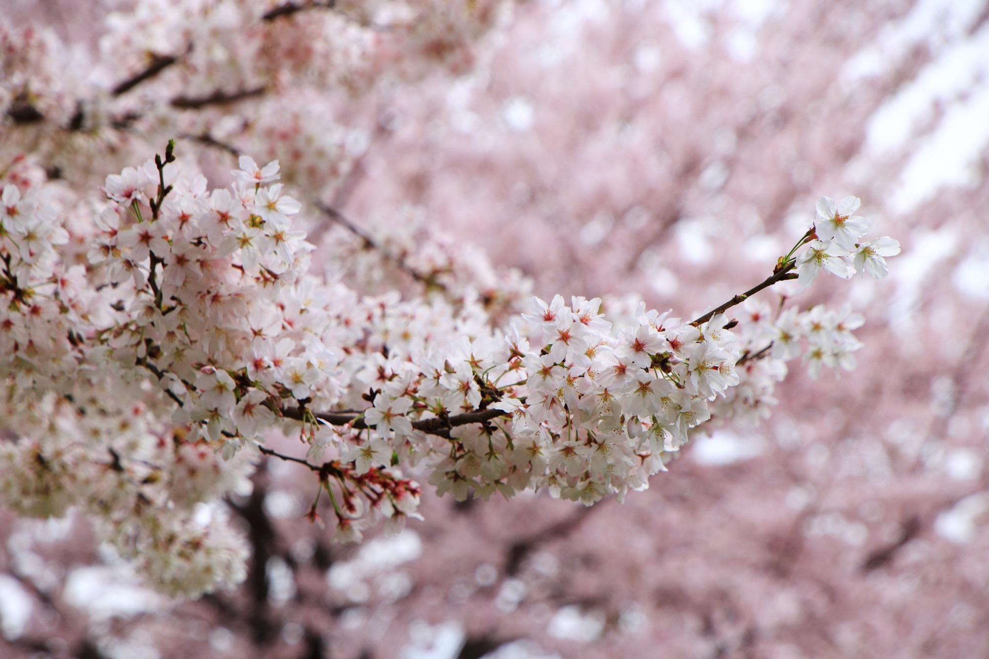 春色につつまれる宇治川派流