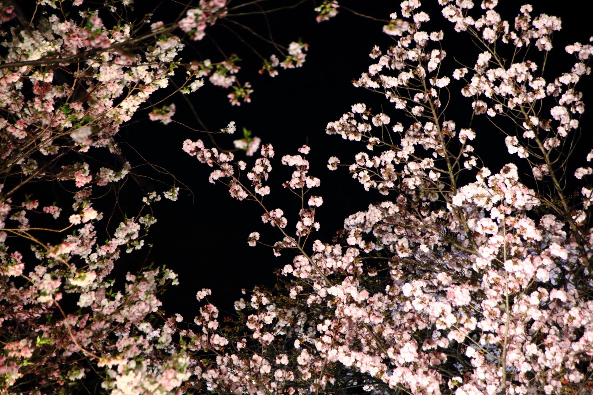 二条城の咲き始めから見事の八重桜(里桜)