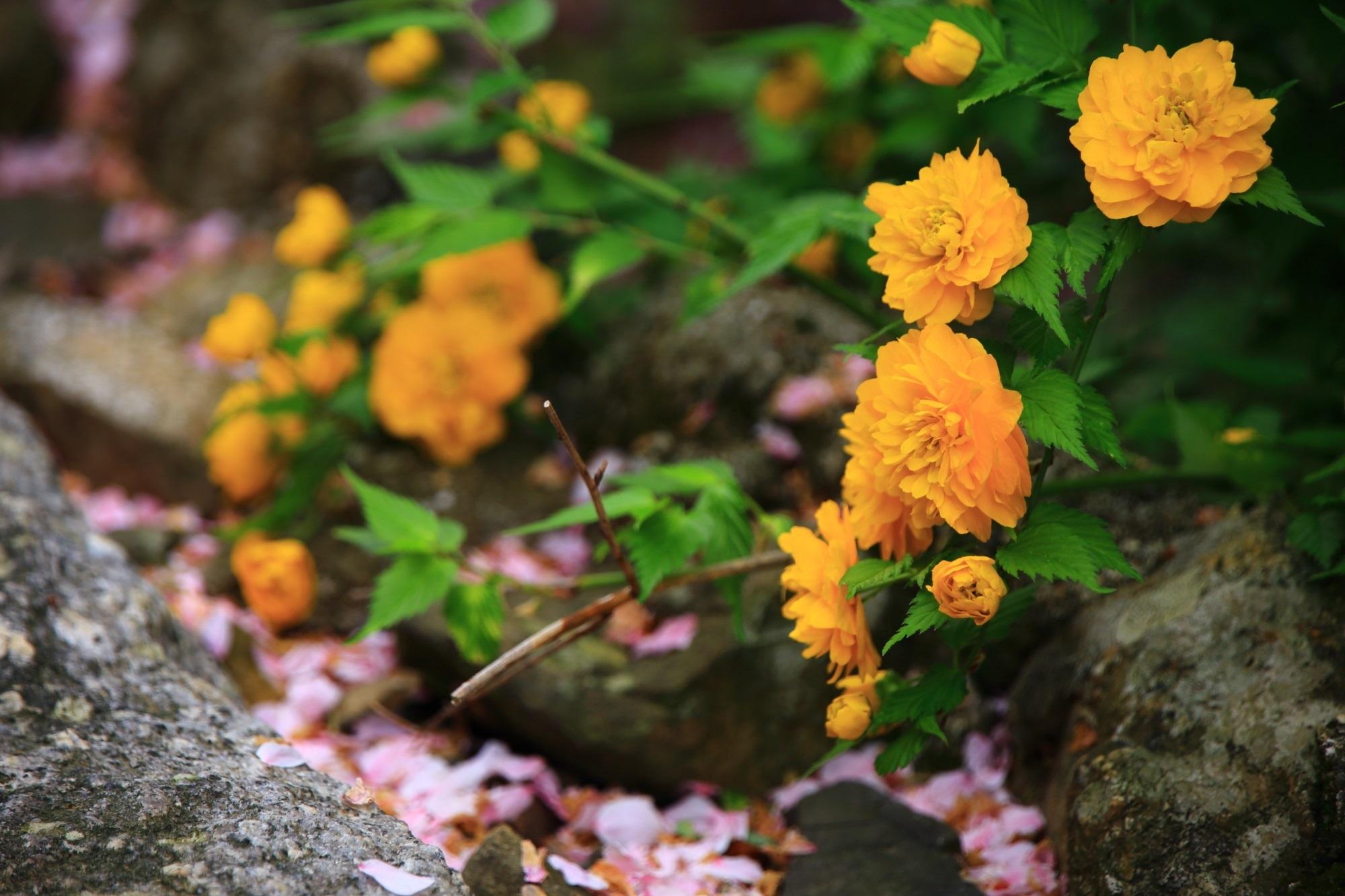 ややオレンジが入った鮮やかな黄色の山吹