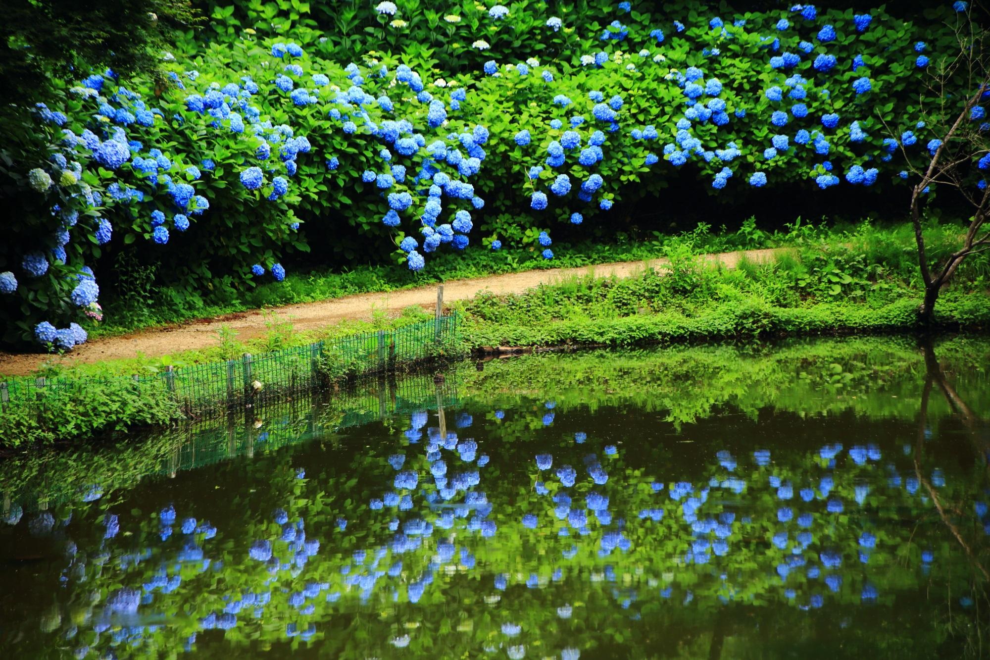 舞鶴自然文化園の鮮やかなブルーの紫陽花と綺麗な紫陽花の水鏡