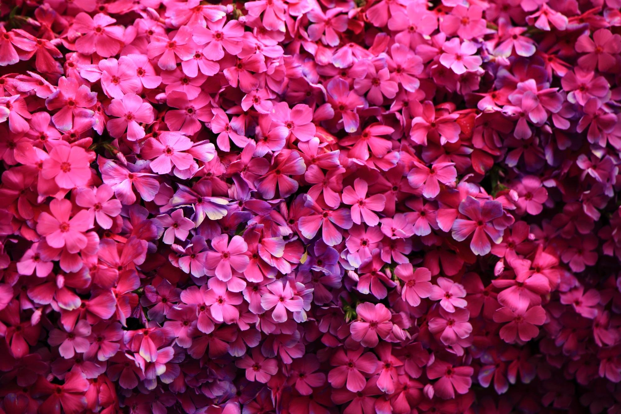 紫の方が近いかも知れない素晴らしい色合いと美しさの芝桜