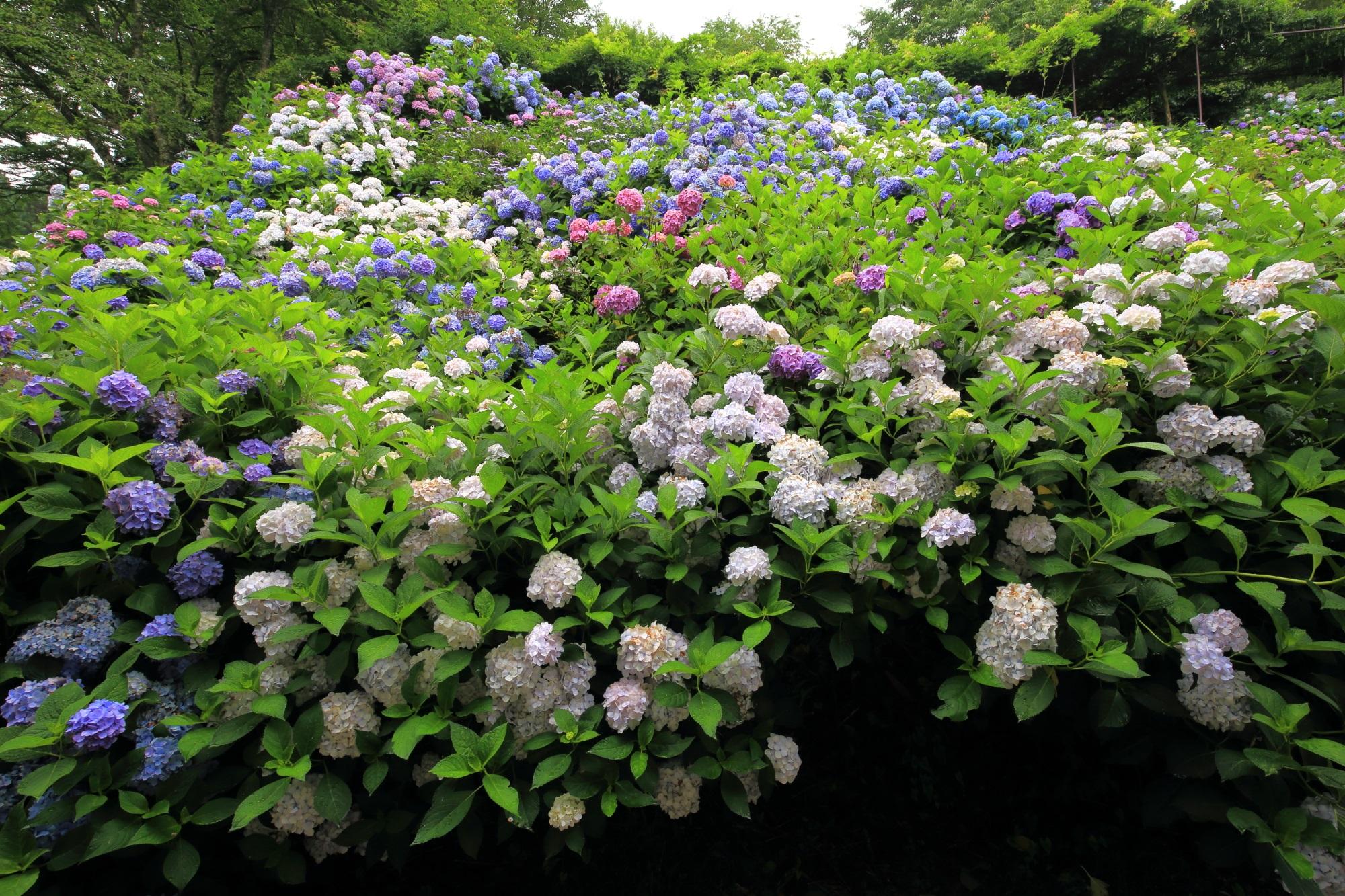 福知山の紫陽花の名所の丹州観音寺