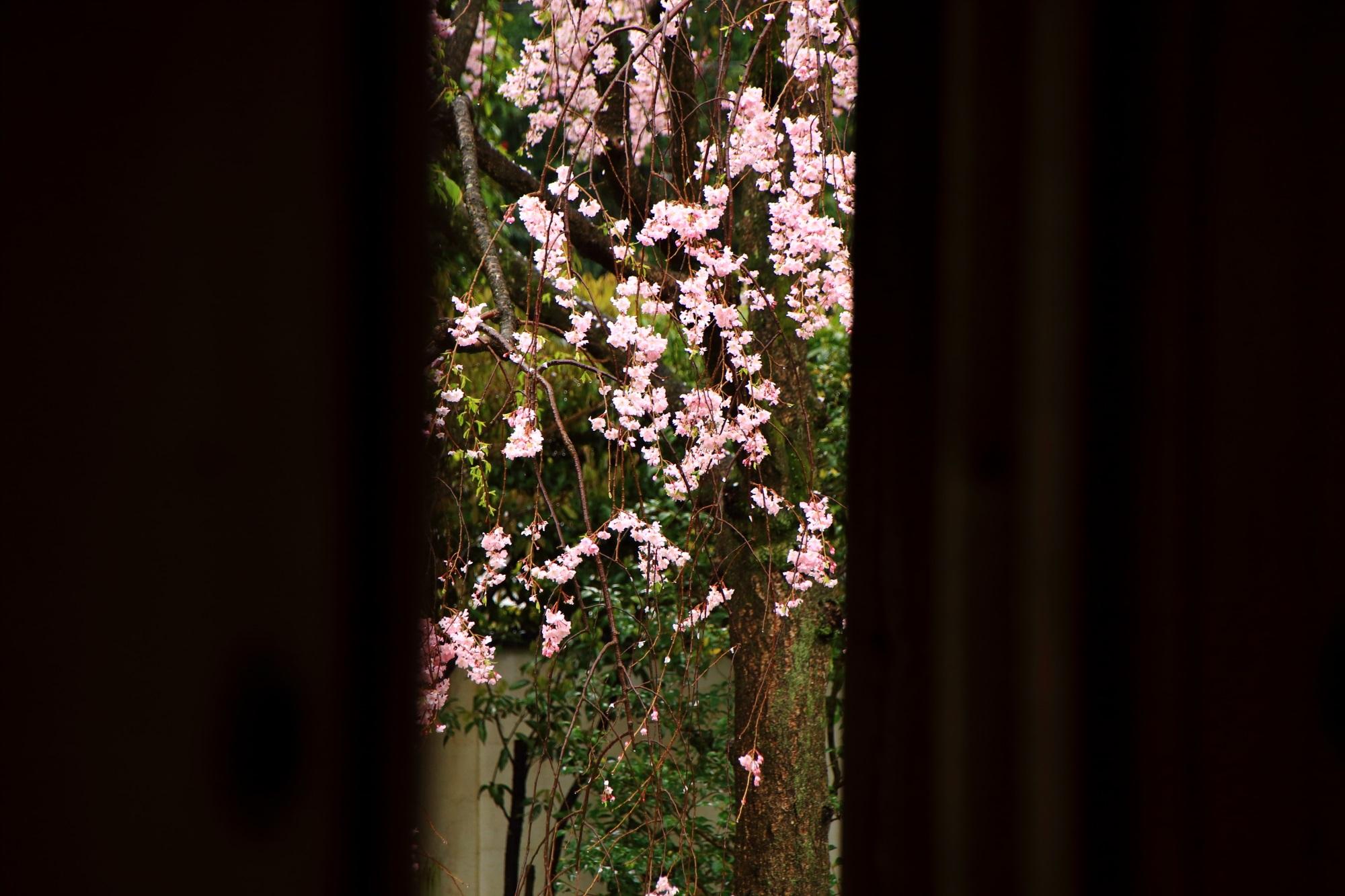 正伝永源院の華やかなしだれ桜