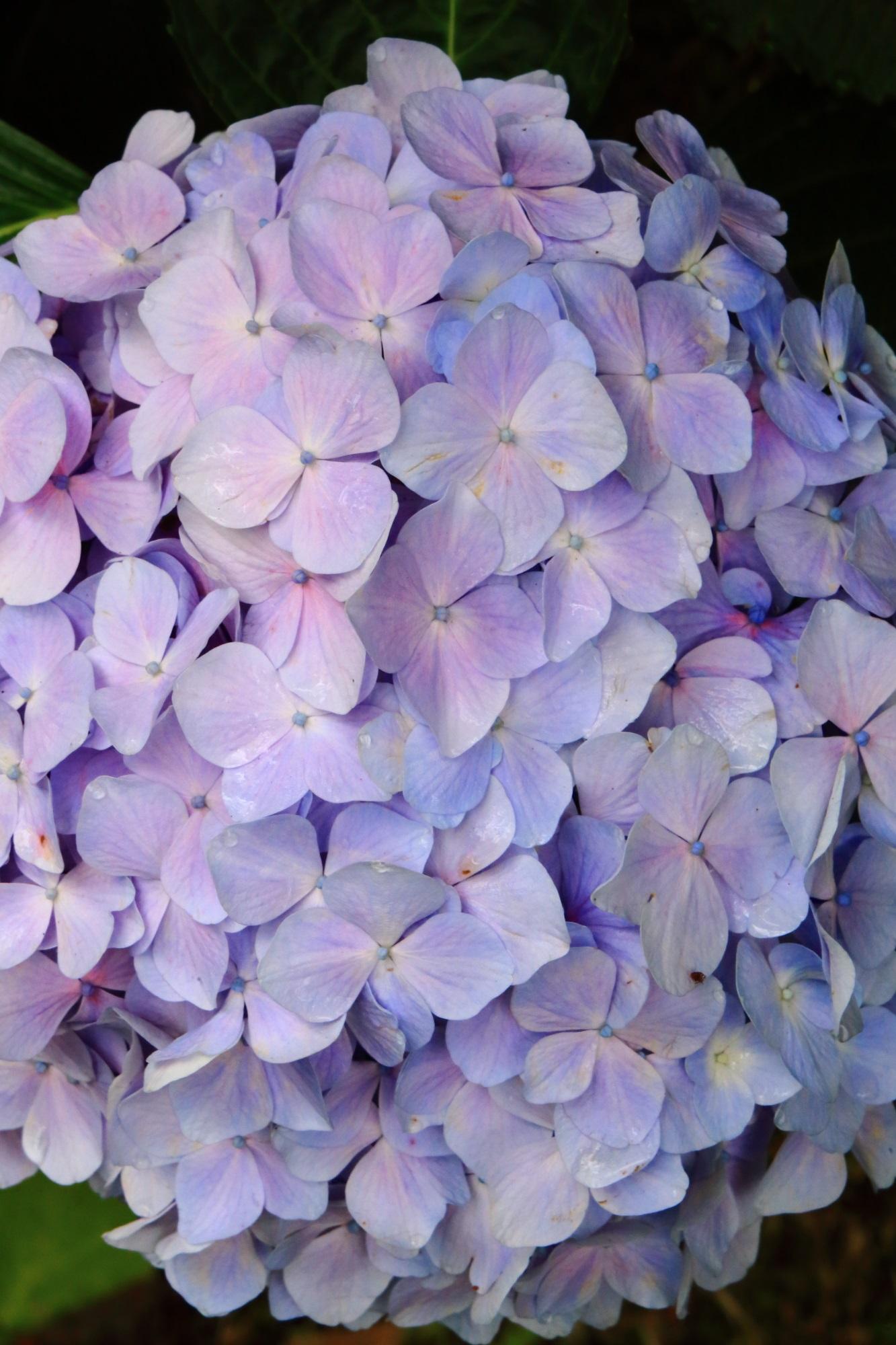 丹波あじさい寺の素晴らしい紫陽花と情景