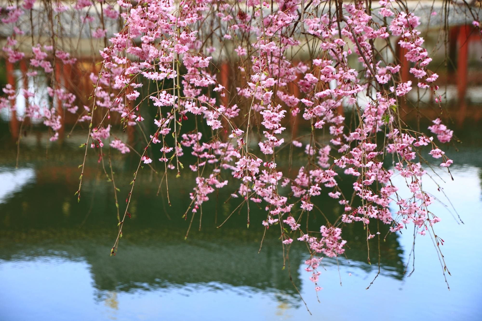 優雅になびくしだれ桜と池に映った鳳凰堂