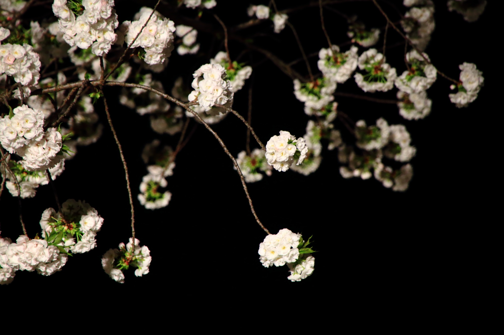 春の夜を優雅に漂う満開の八重桜