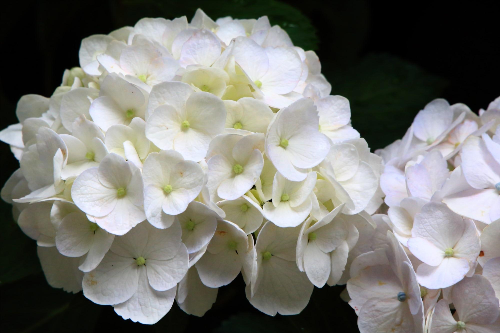 丹波あじさい寺の爽やかな白い紫陽花