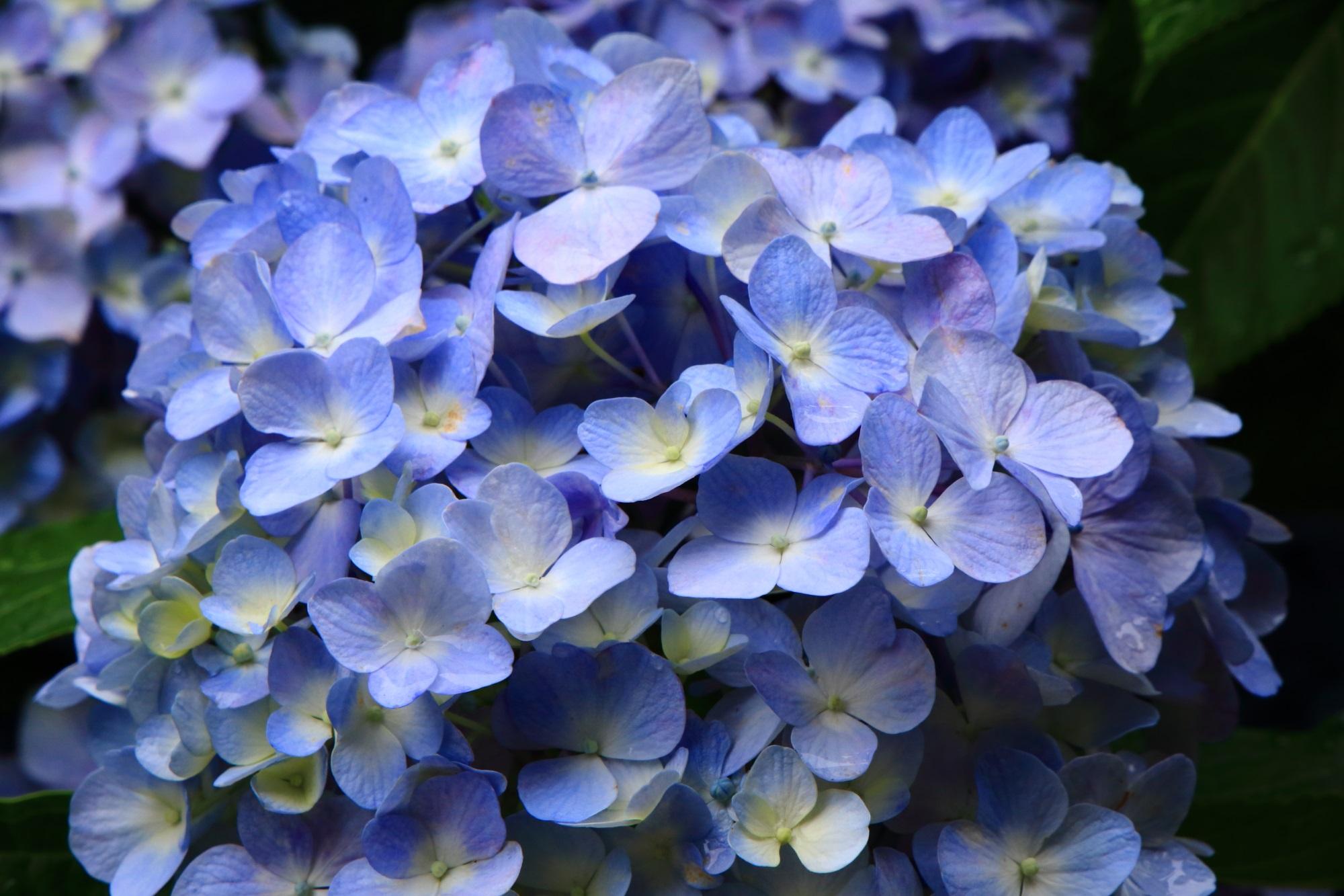 花の状態も良く花びらも美しい色んな種類の紫陽花