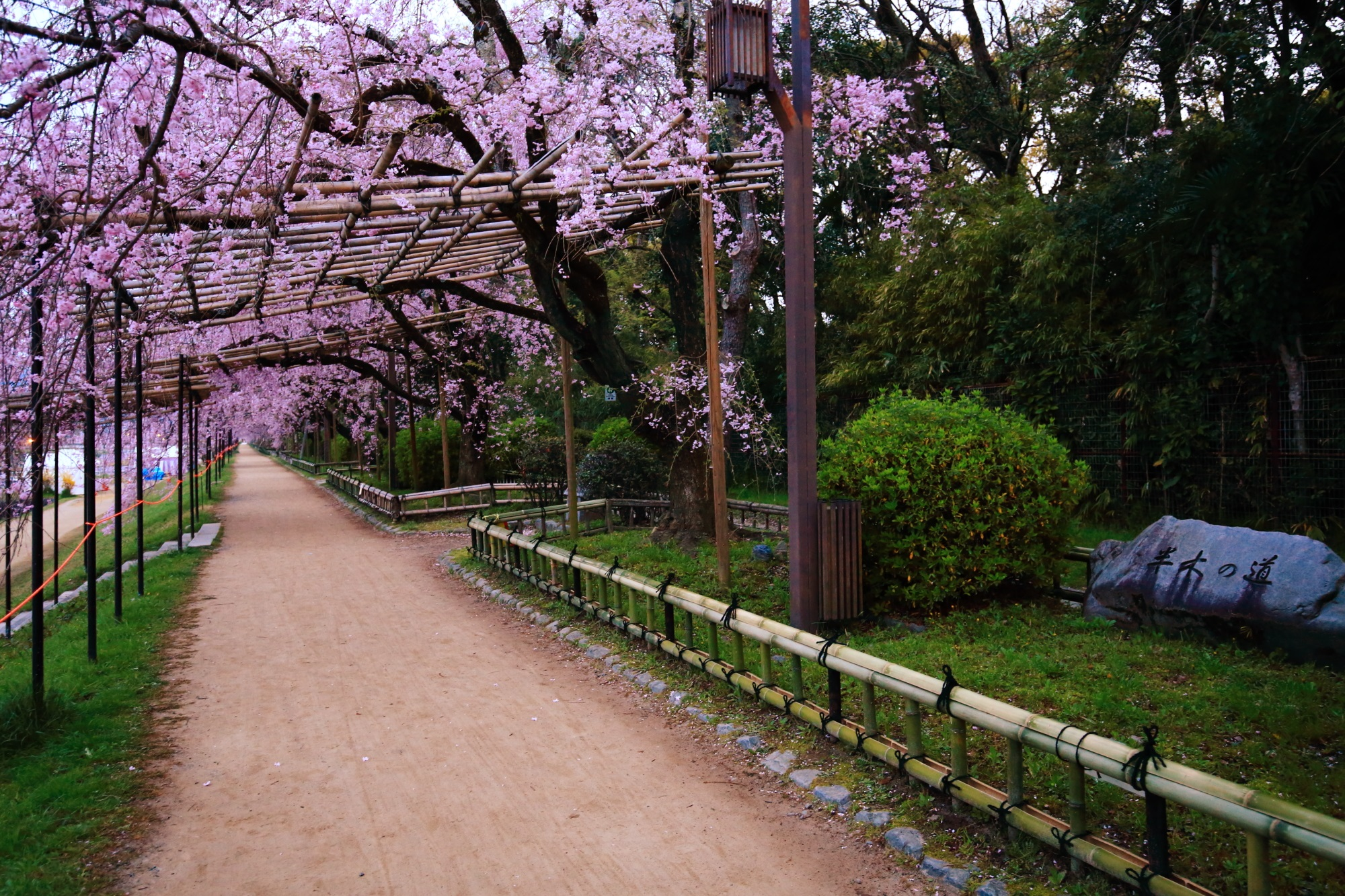 賀茂川沿いの半木の道(なからぎのみち)のしだれ桜並木