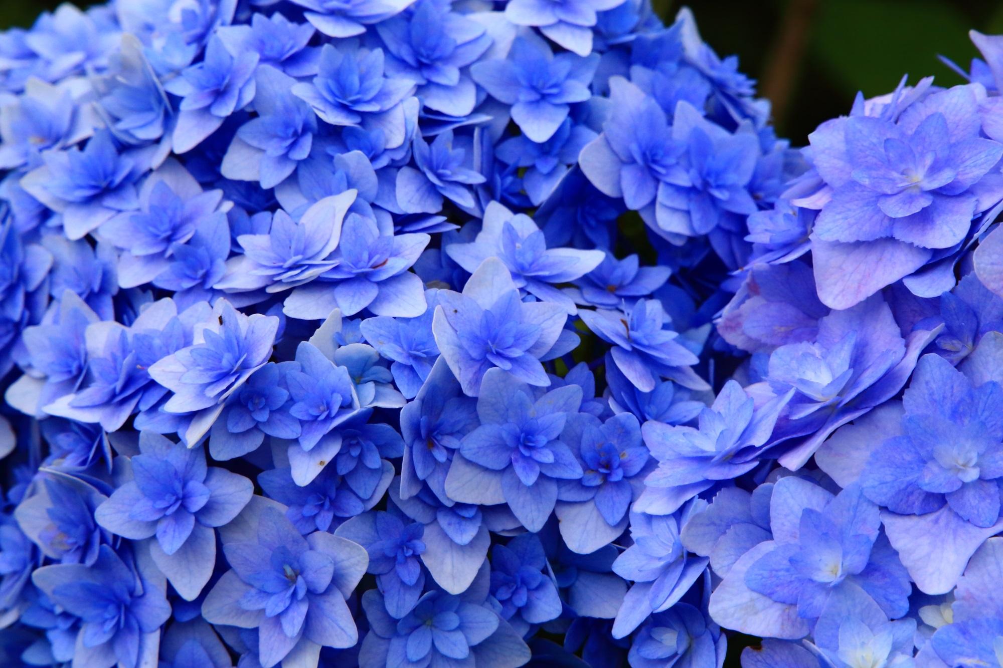 花びらが何重にもなっている不思議な花の紫陽花