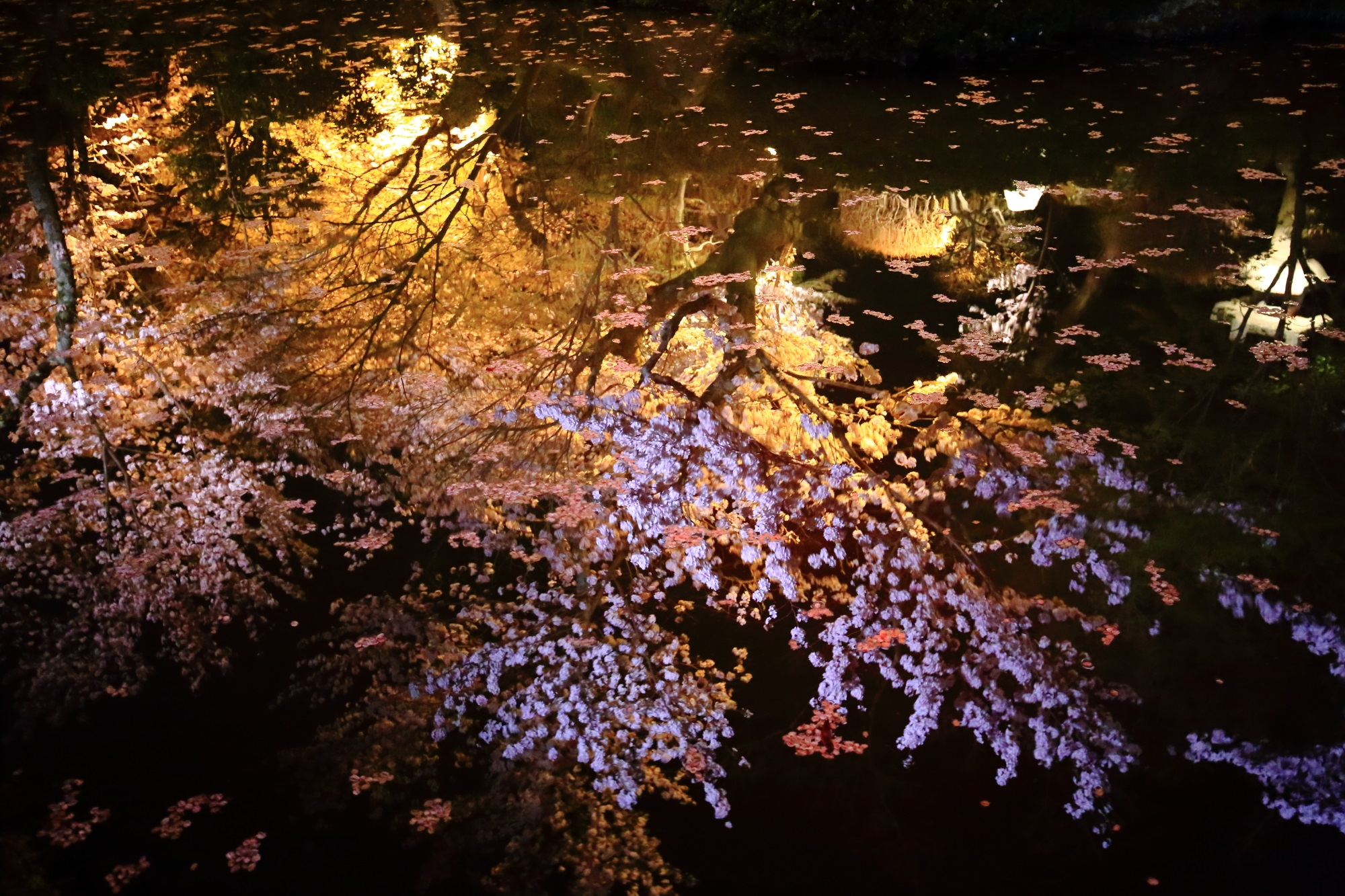 美しすぎる春の彩りの圧巻の夜桜の水鏡
