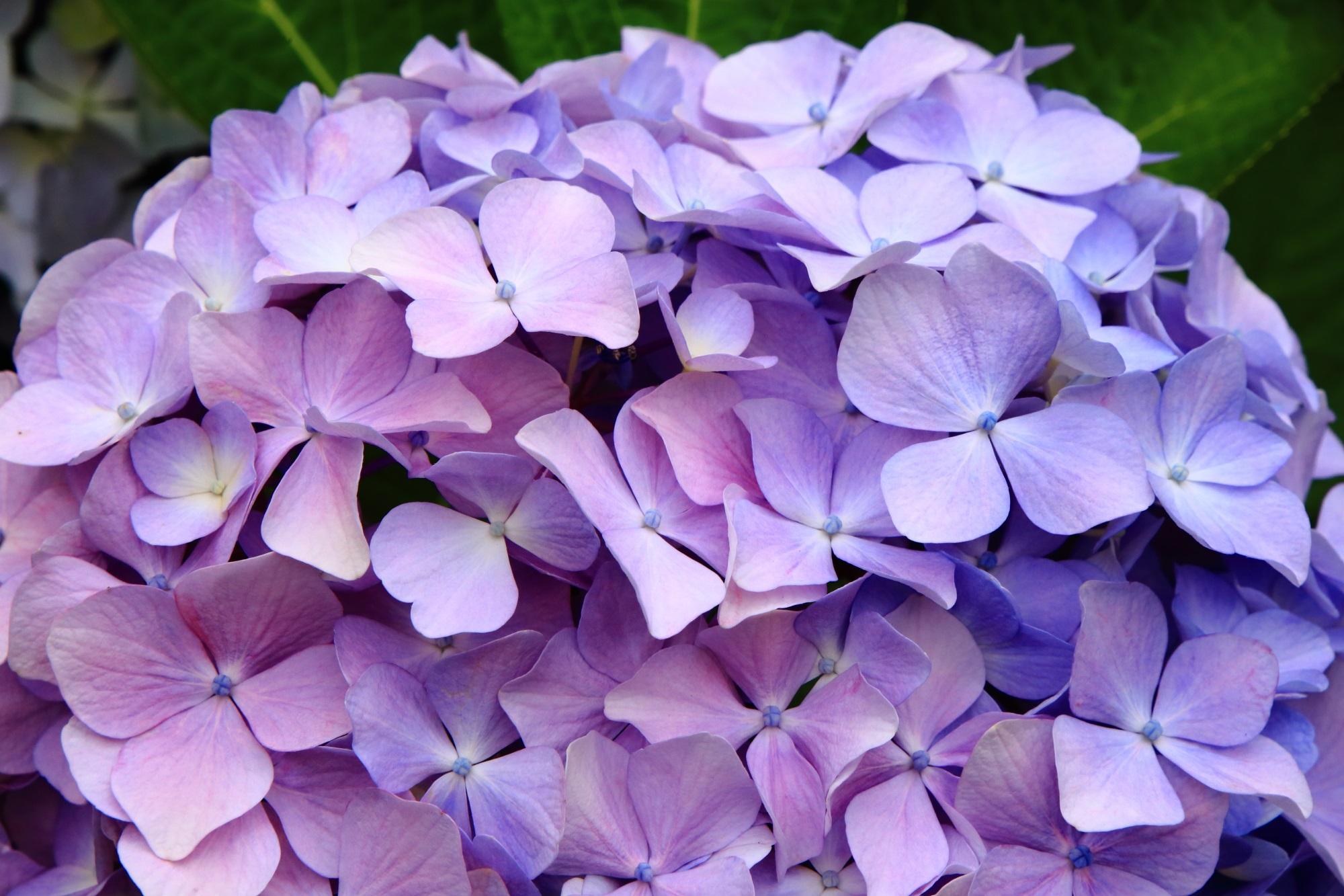 華やかなピンクと薄い紫の楽しそうな色合いの紫陽花