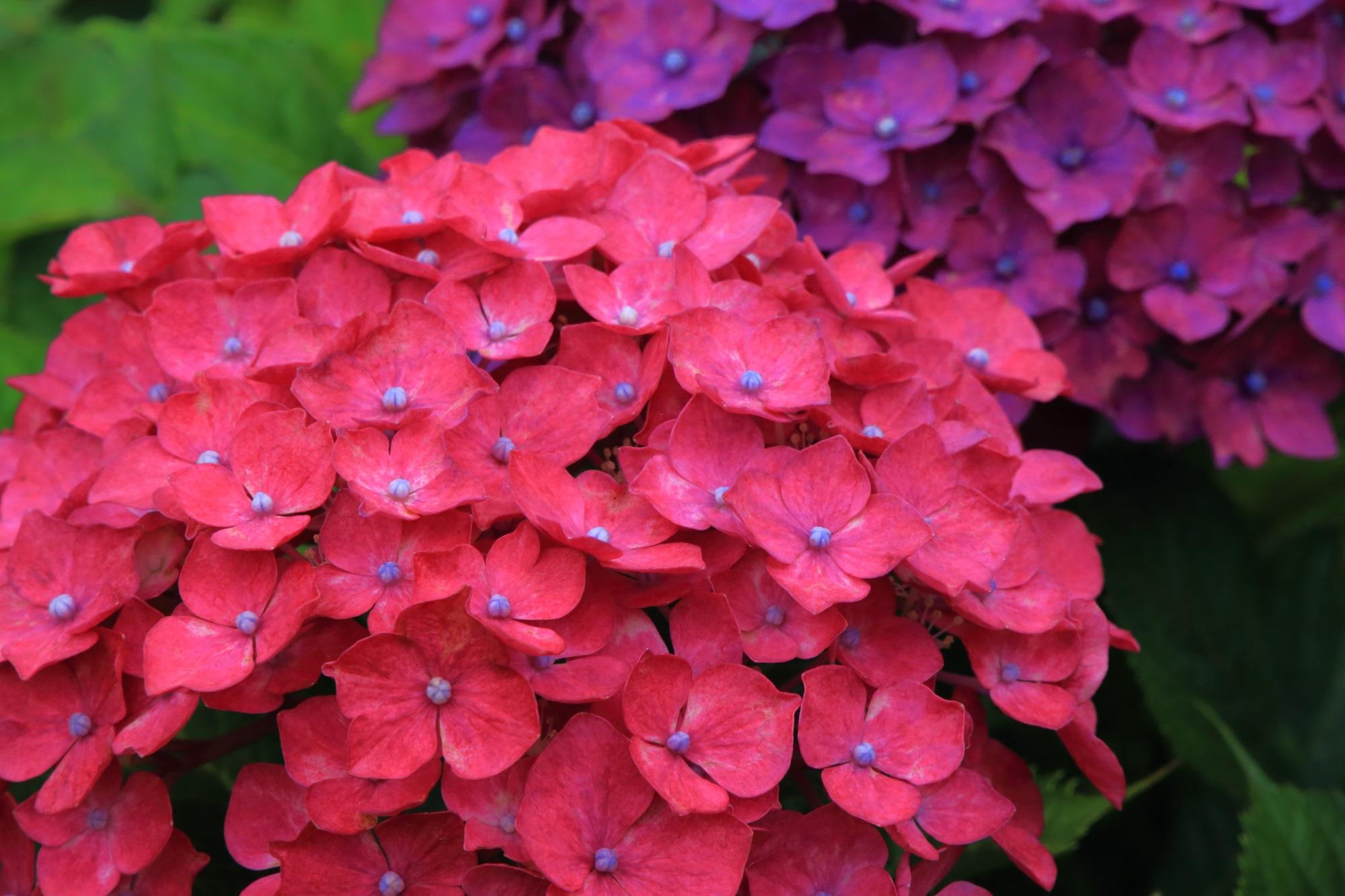 花の中心が色濃い特徴的な紫陽花