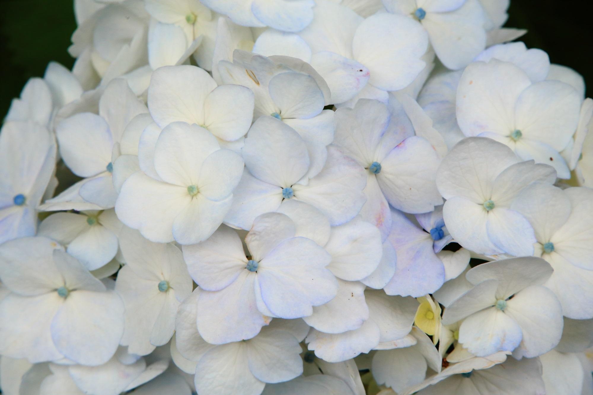 ほんのり薄く色づいている白い紫陽花