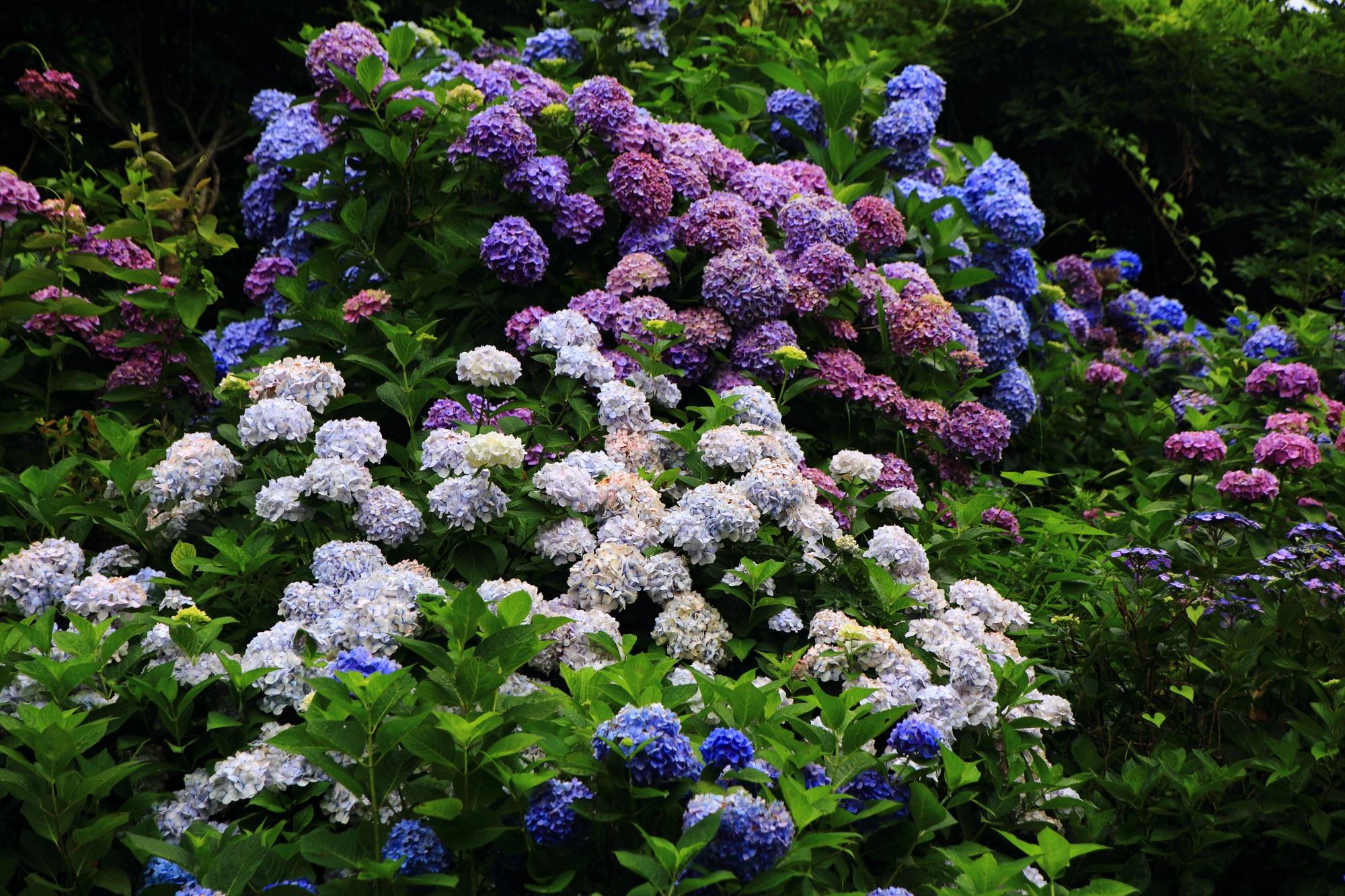 丹州観音寺の弾けんばかりに咲き誇るたくさんの満開の紫陽花