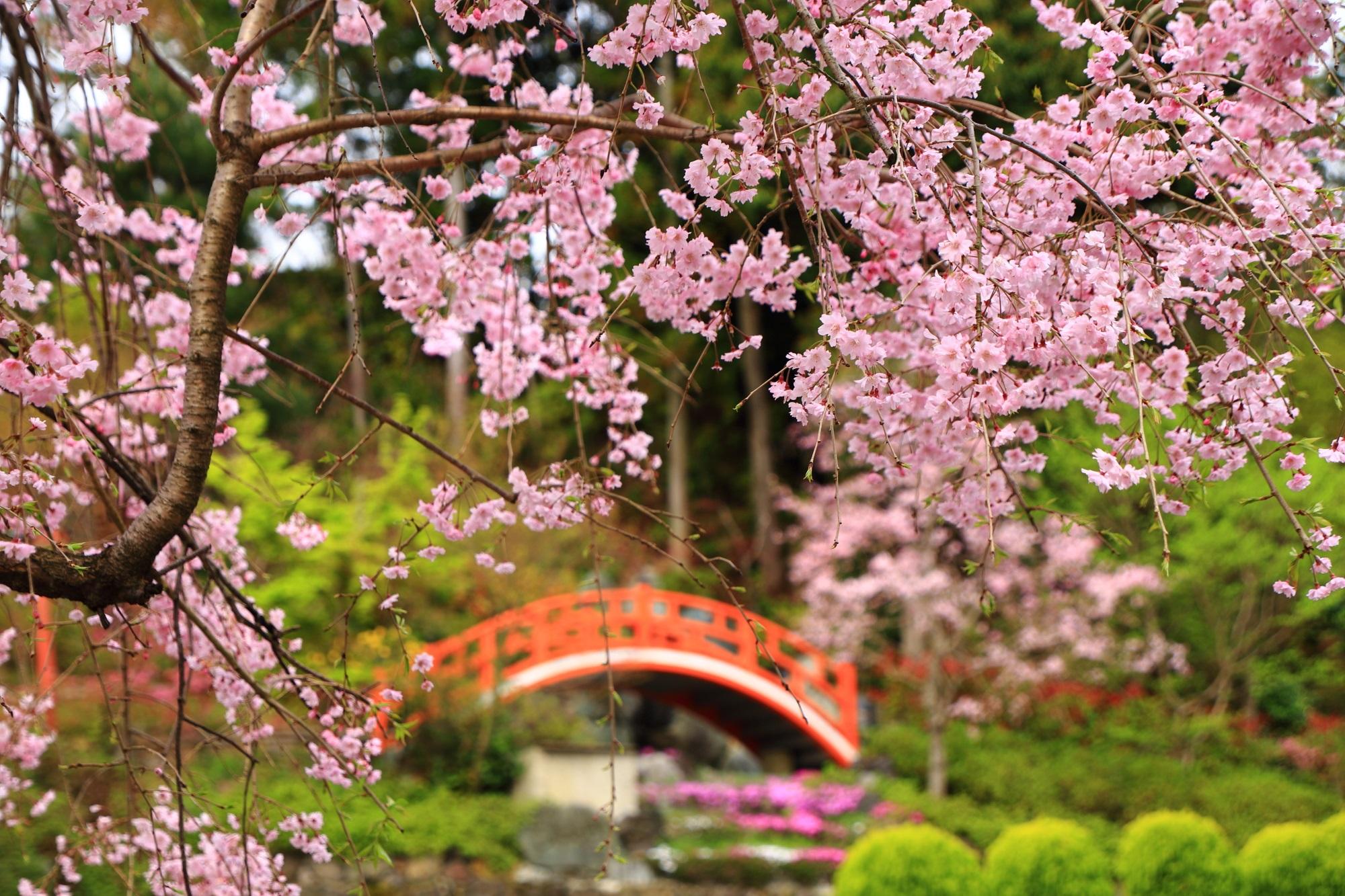 淡いピンクの桜につつまれた春日稲荷社