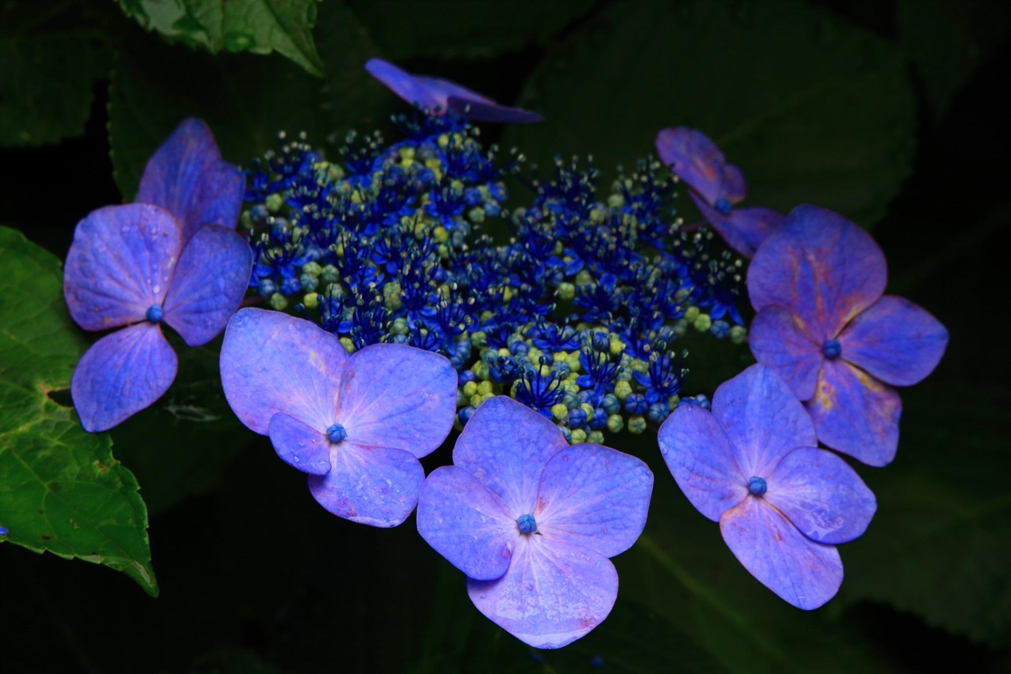 丹州観音寺の見事な額紫陽花(ガクアジサイ)