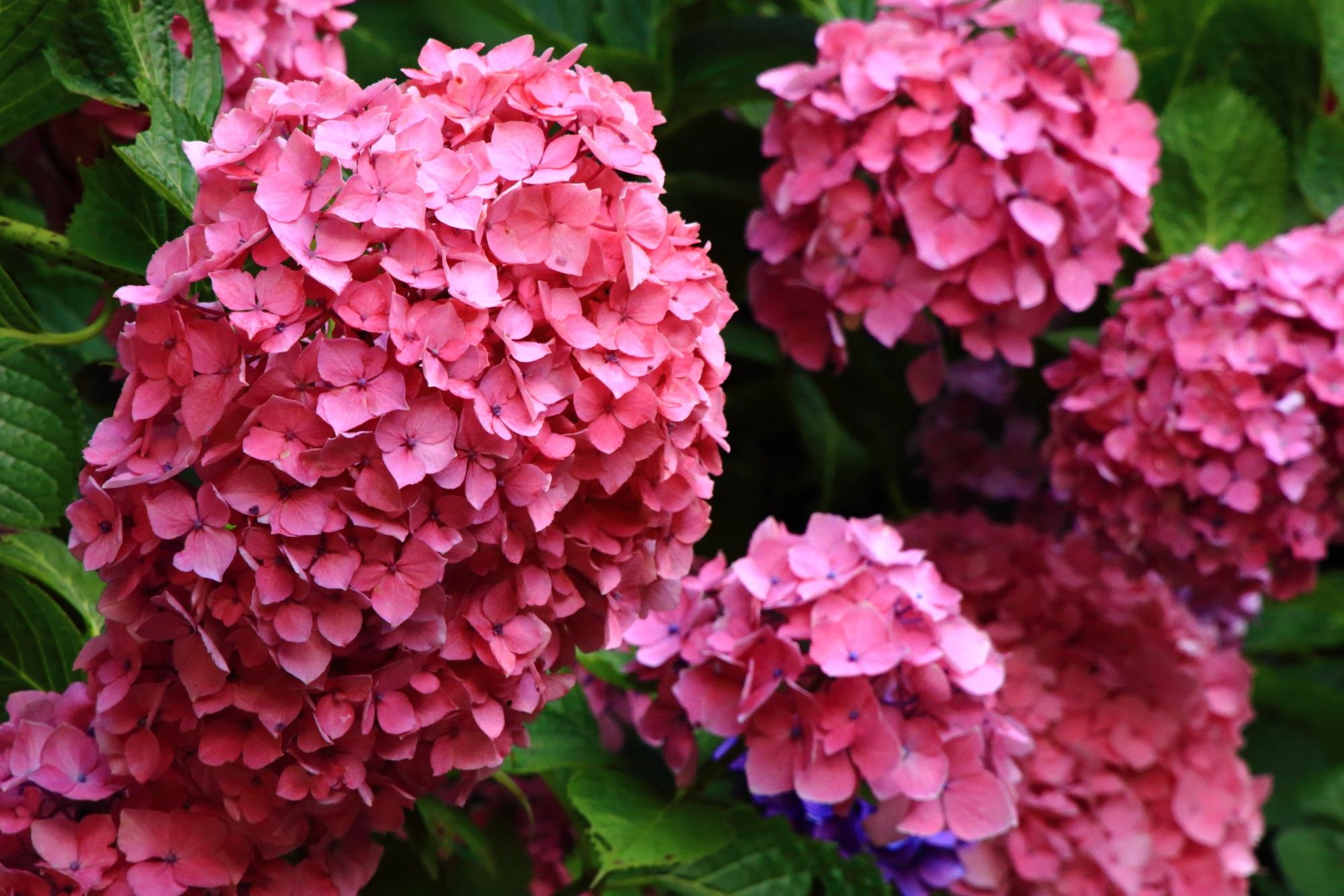岩船寺の弾けんばかりに咲き誇る満開の鮮やかなピンクの紫陽花