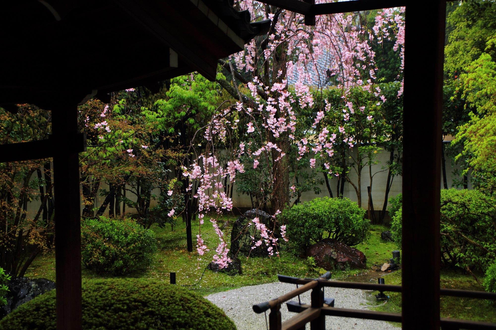 隠れた桜の名所の正伝永源院の鮮やかなしだれ桜