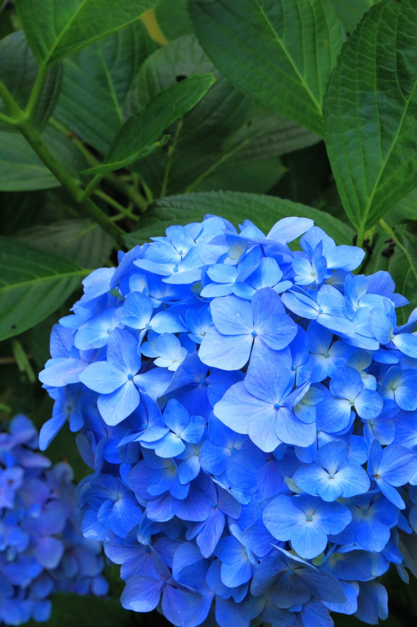 岩船寺の爽快なブルーの美しい紫陽花