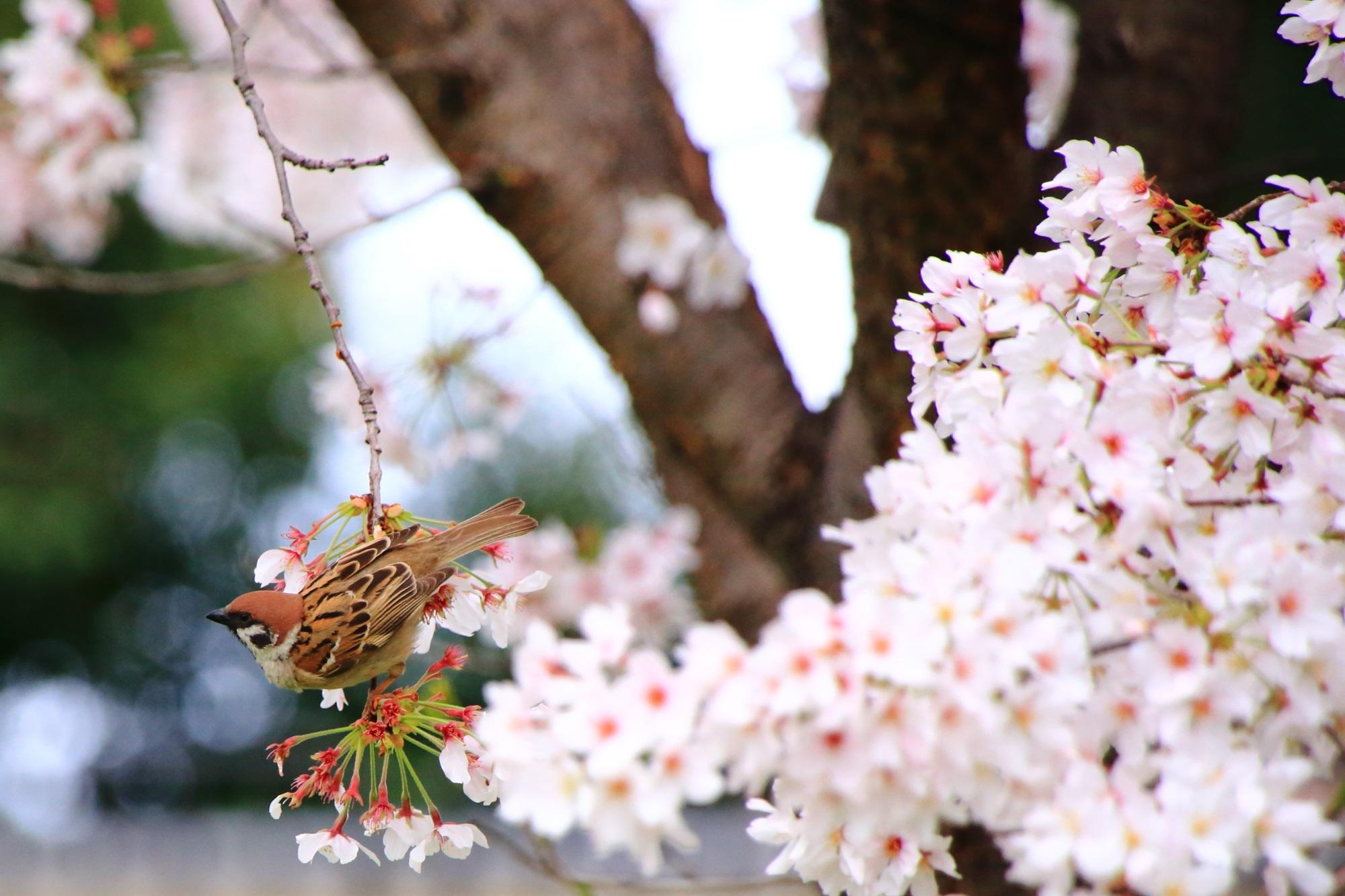 宇治川派流の桜とすずめ