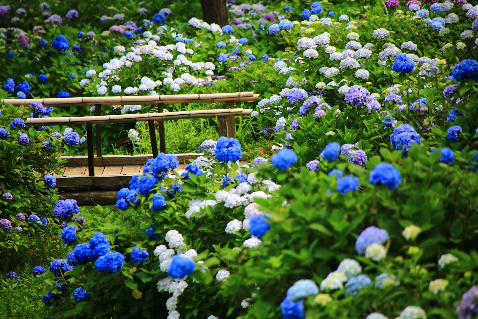 木の橋周辺の風情ある色とりどりの紫陽花