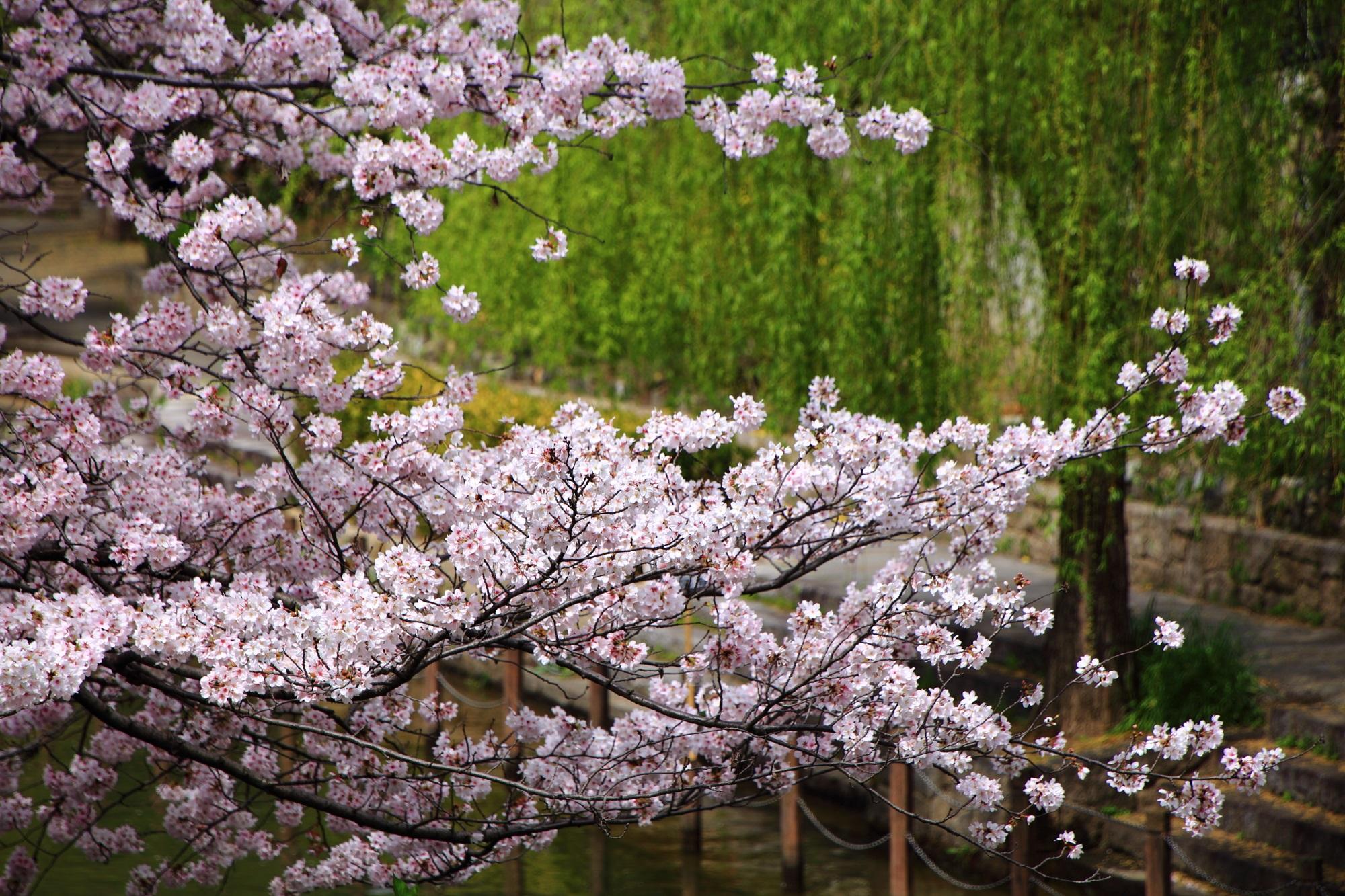 柳を背景に咲き乱れる水辺の桜